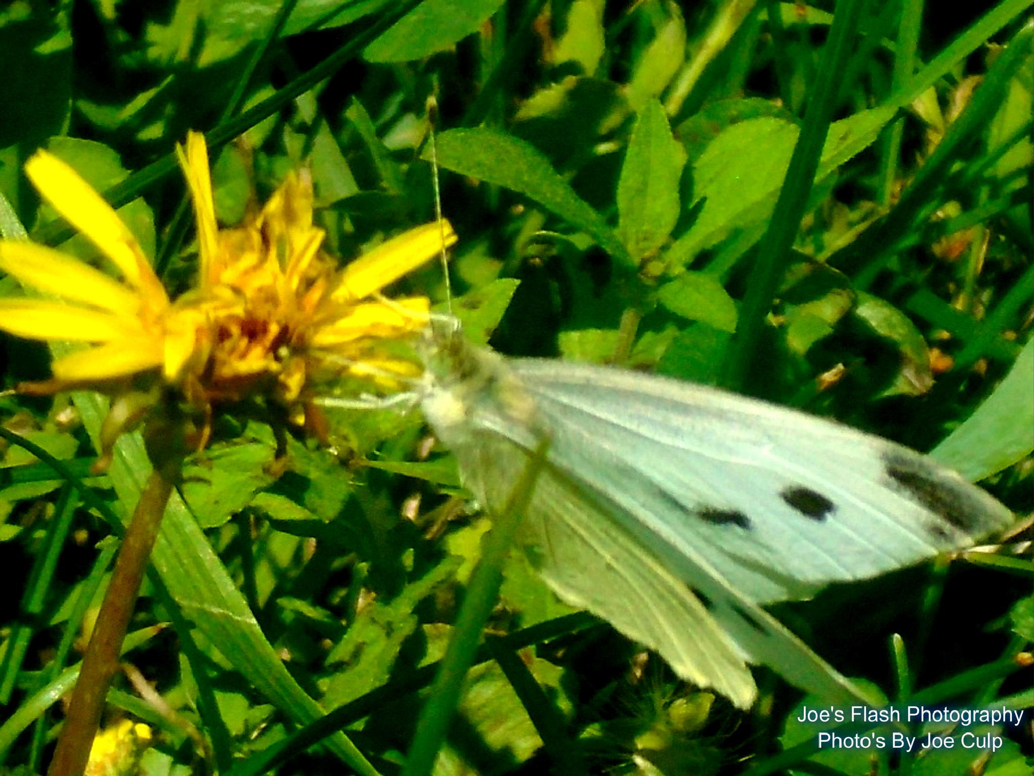 White Butterfly feeding on what is left of this Dandelion by Joe's Flash Photography...Photo's By Joe Culp
