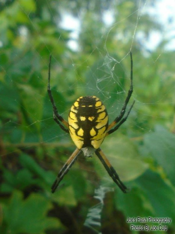 Garden Spider by Joe's Flash Photography...Photo's By Joe Culp