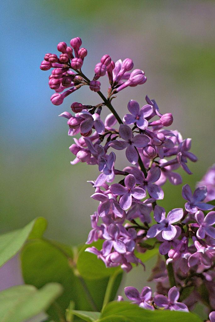 lilacs by ptbocarl