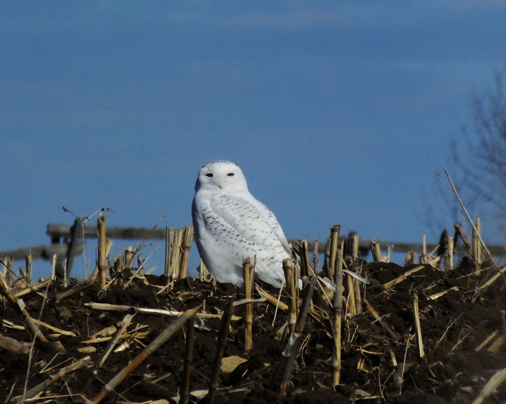 Snowy Owl by ptbocarl