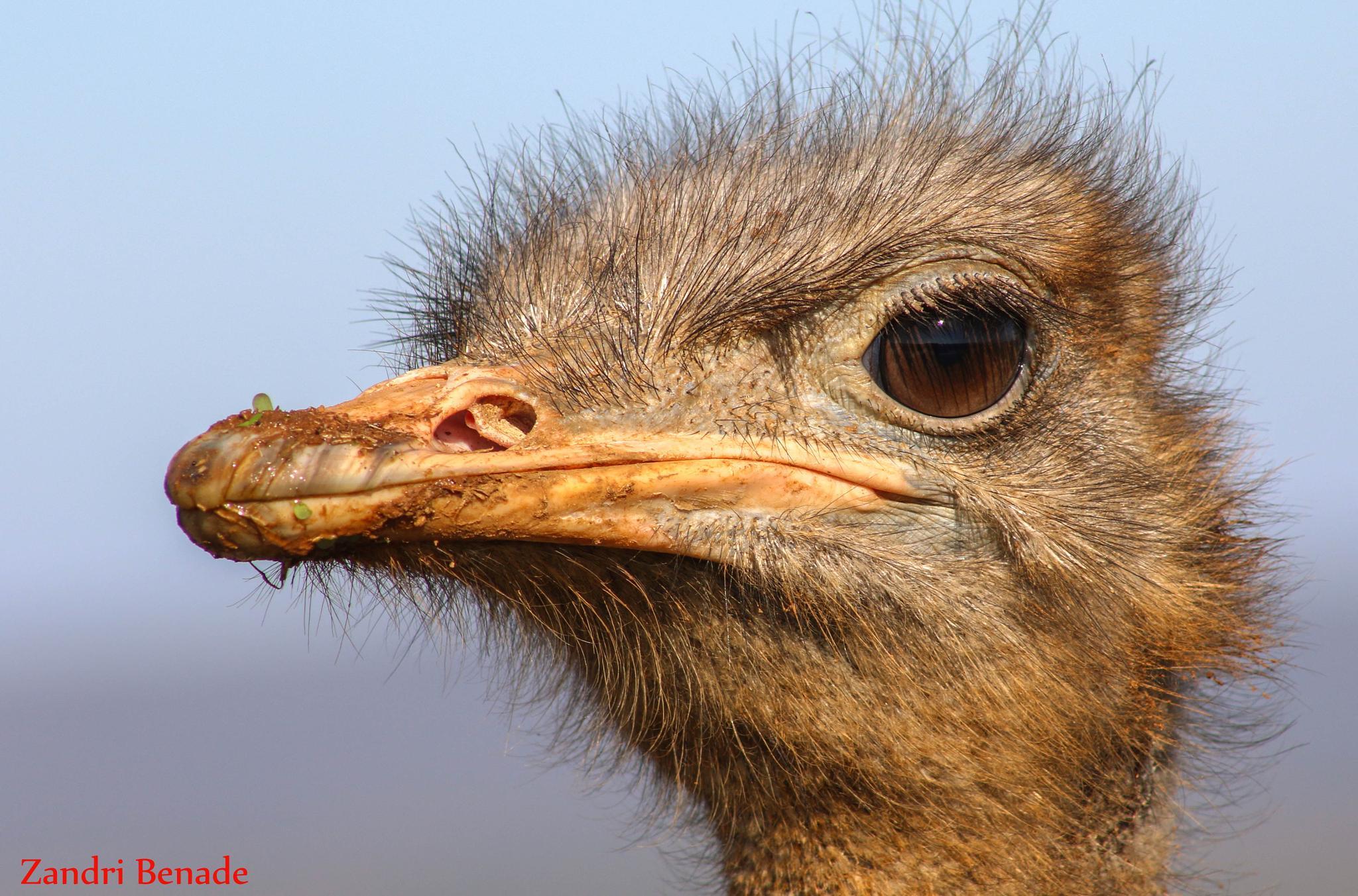 Photo in Animal #south africa #ostrich #bird