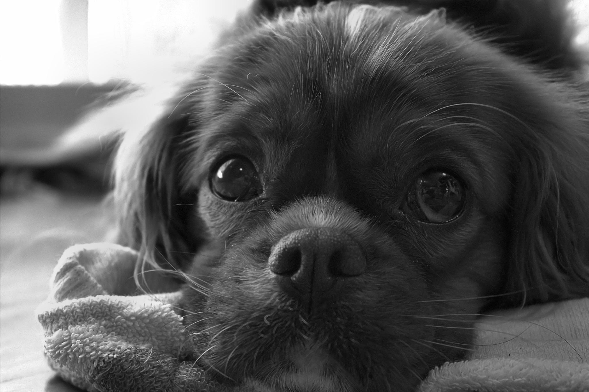Photo in Black and White #portrait #pet #dog #black and white