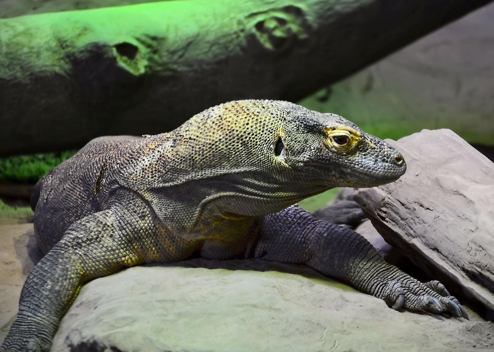 Photo in Nature #dragon #lizard #reptile #wild #poison #dangerous #bite