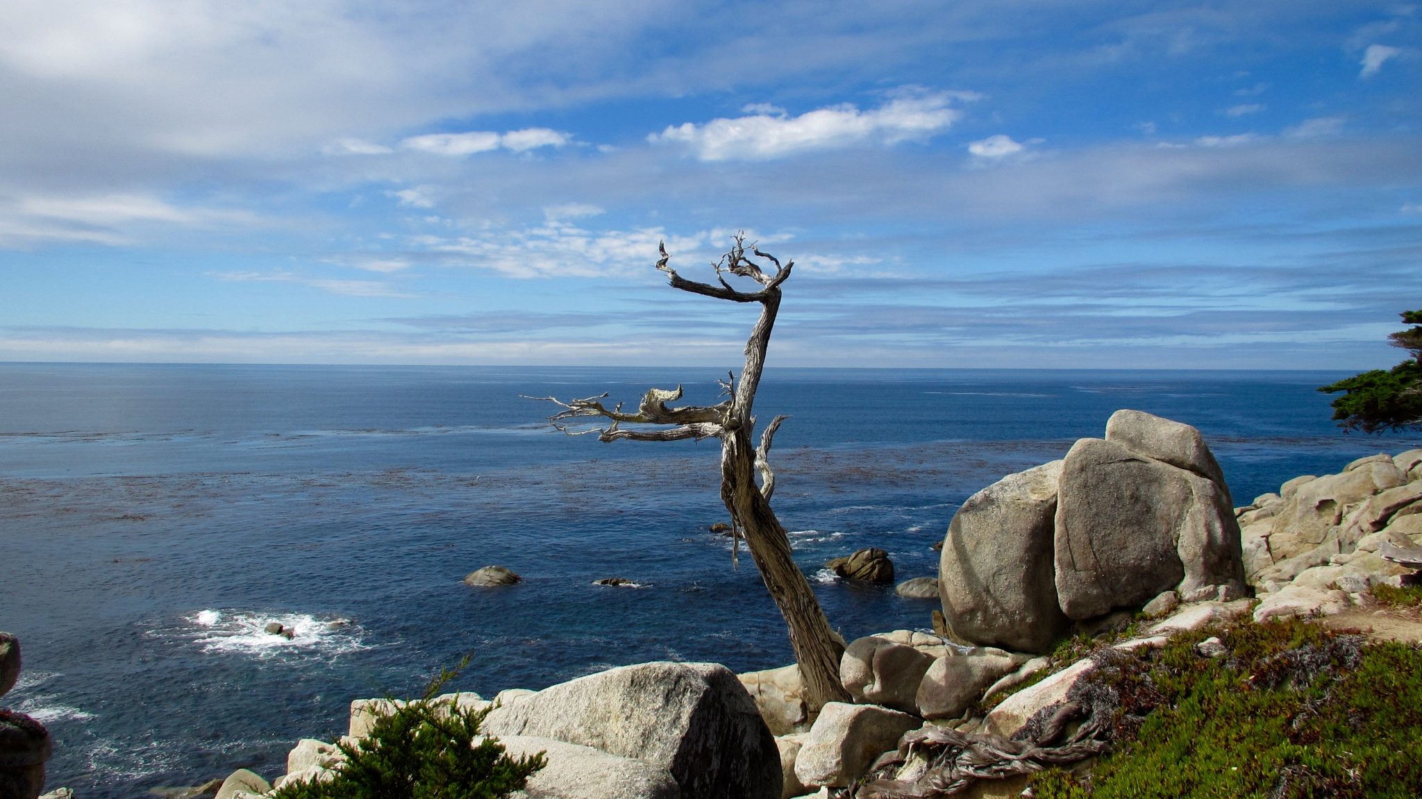 Ghost Tree in Monterey, CA by BarbLmom