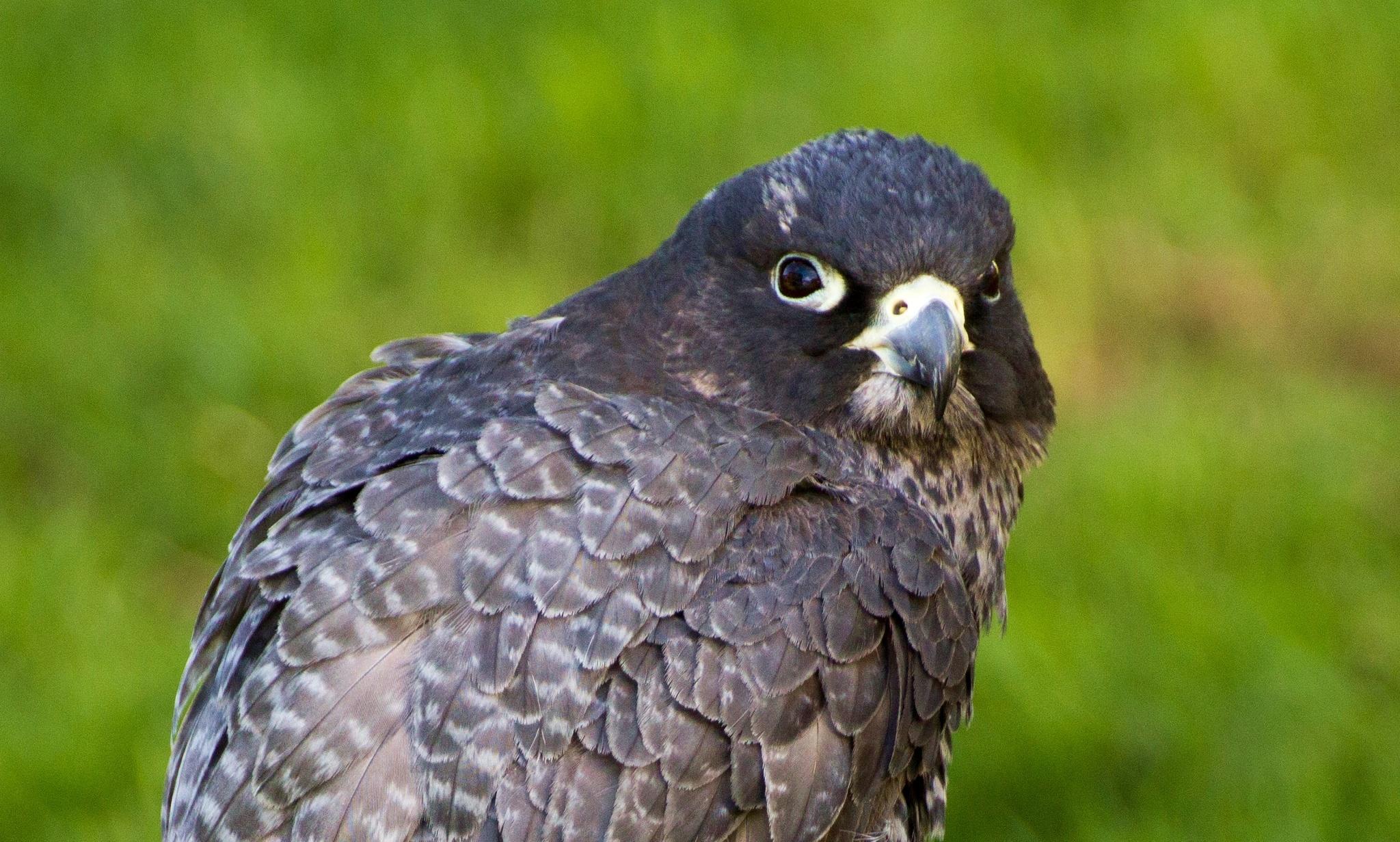 Photo in Animal #birds of prey #falcons #birds #wildlife #nature #closeup #canon