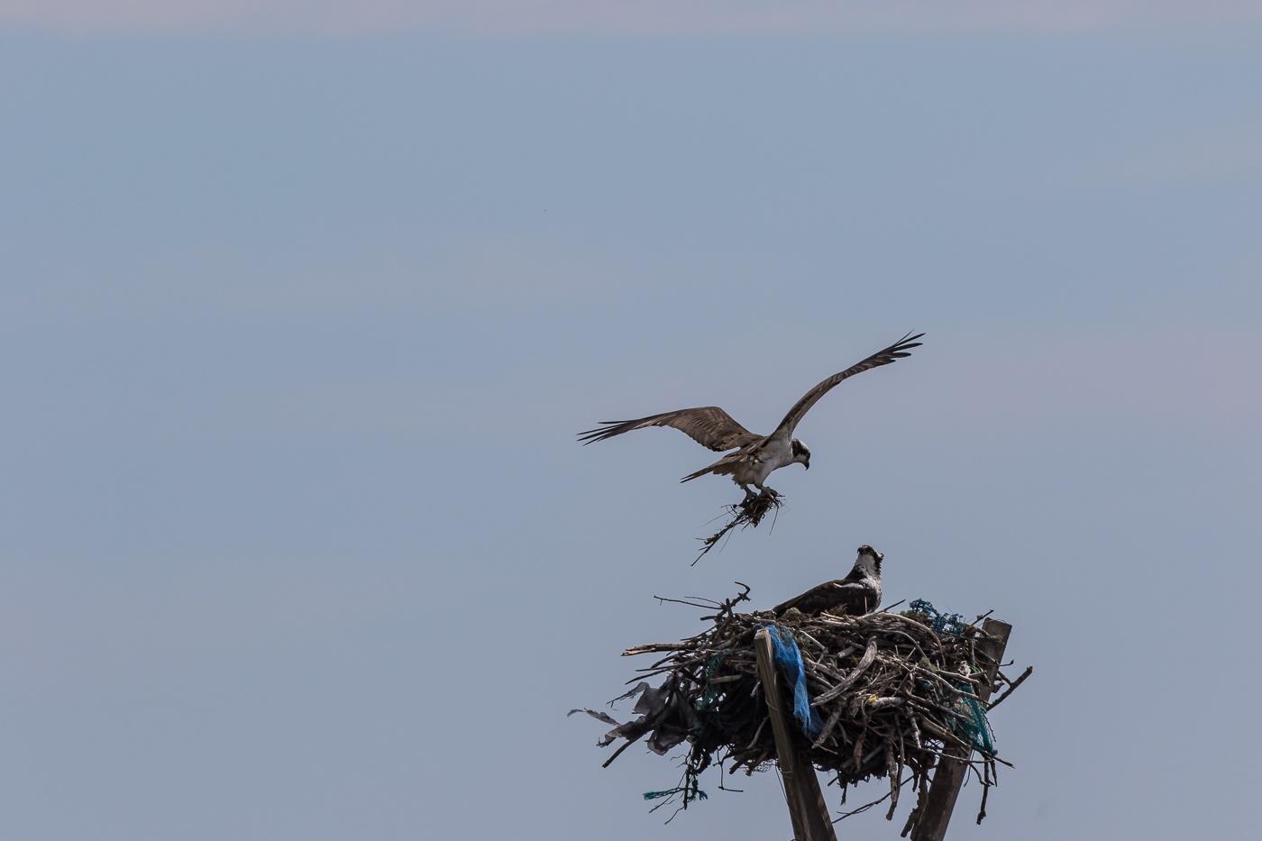 Osprey Spring Nesting by jbrissettephoto