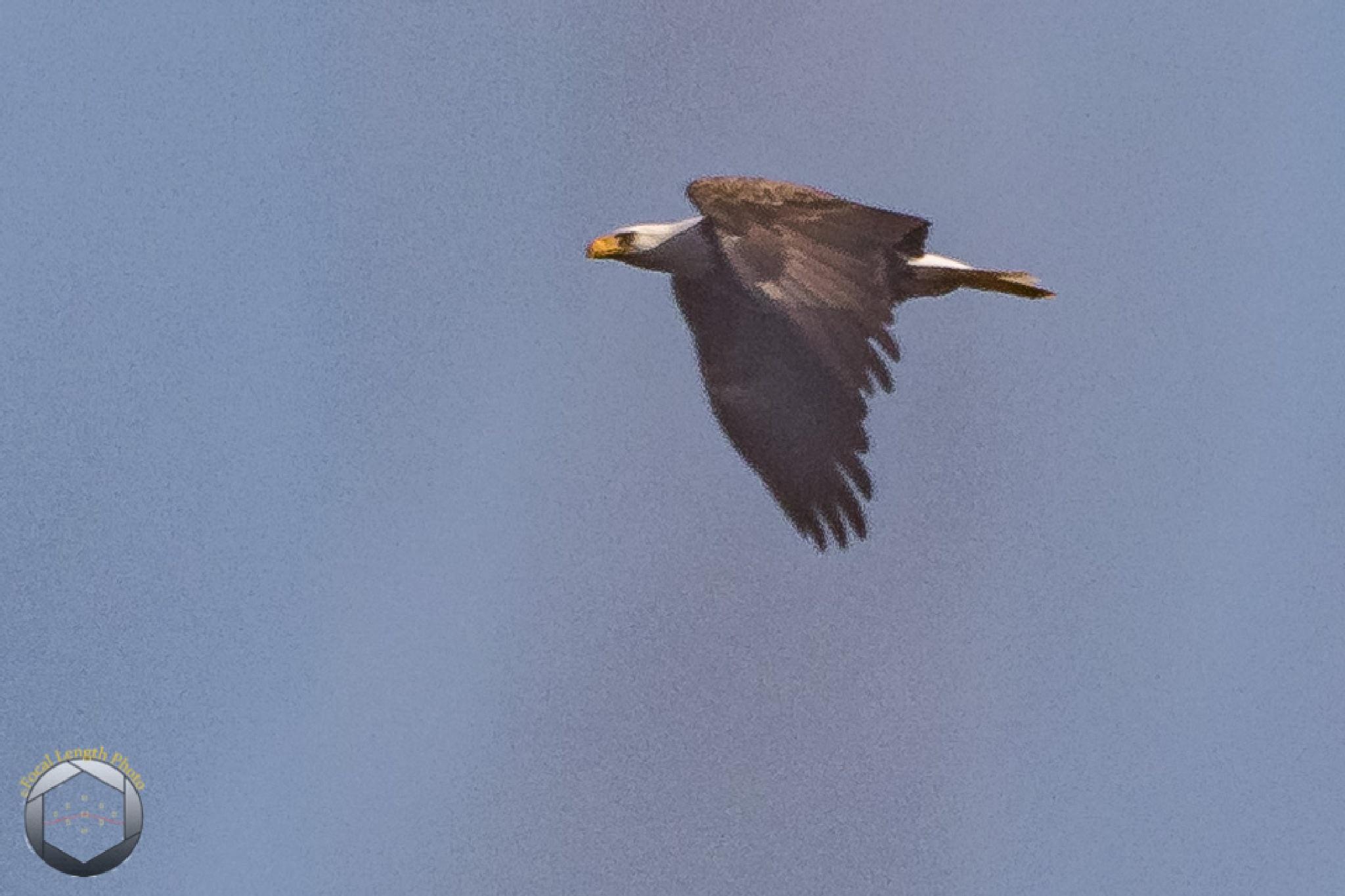 Bald Eagle (distant) by jbrissettephoto