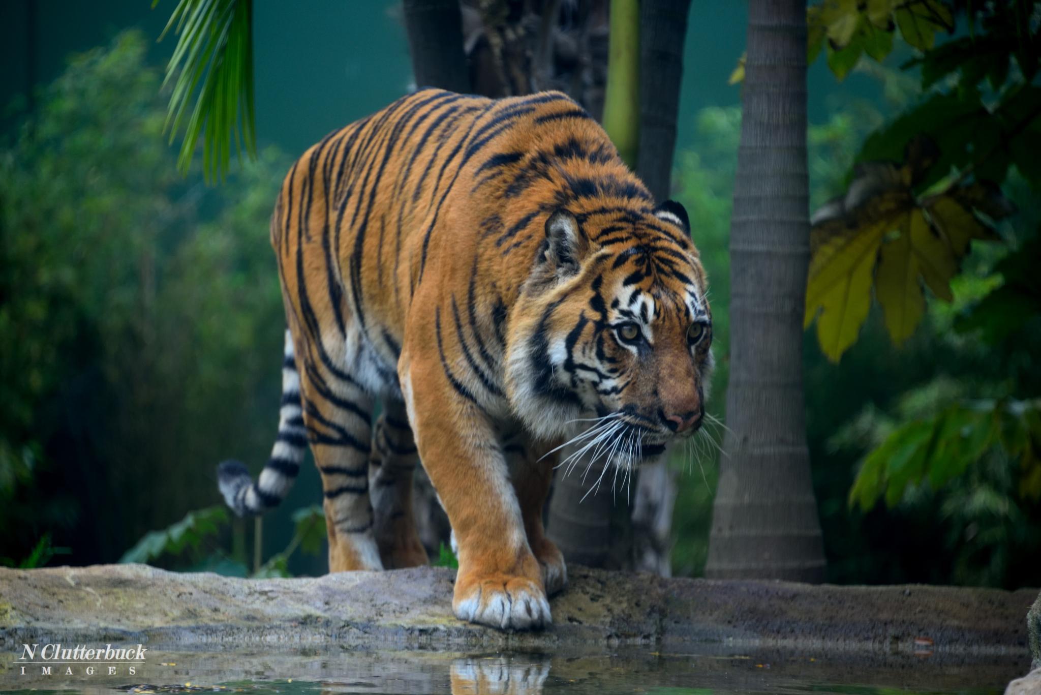 Photo in Animal #tiger #zoo #animal #adelaidezoo