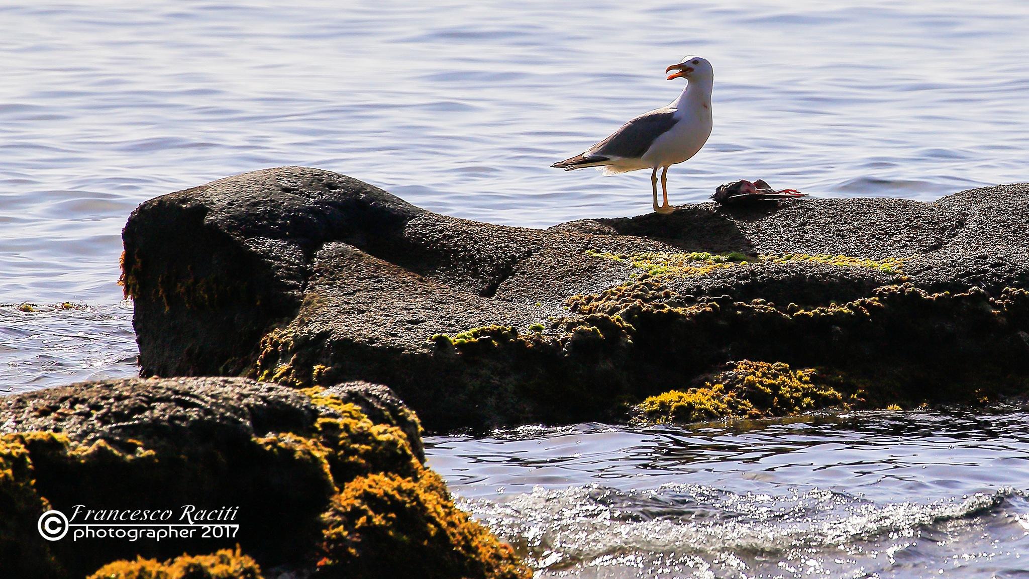 Seagull by Francesco Raciti