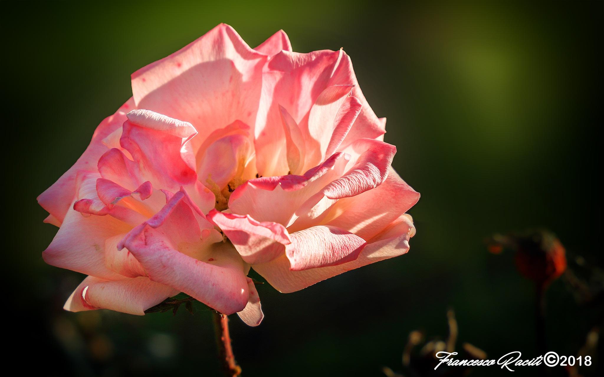 A rose not really beautiful by Francesco Raciti