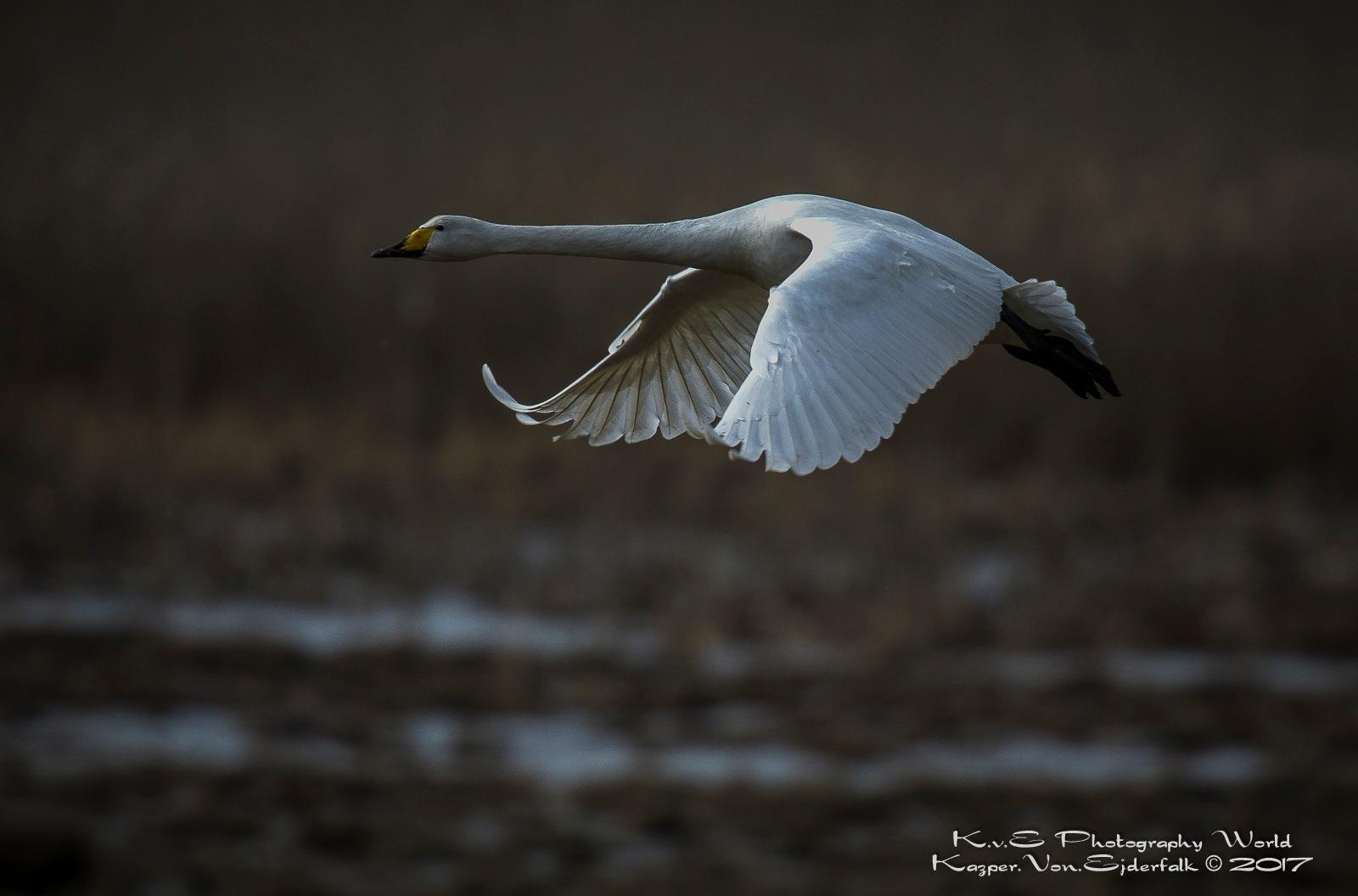 Early Morning Swan by Von Ejderfalk Kazper