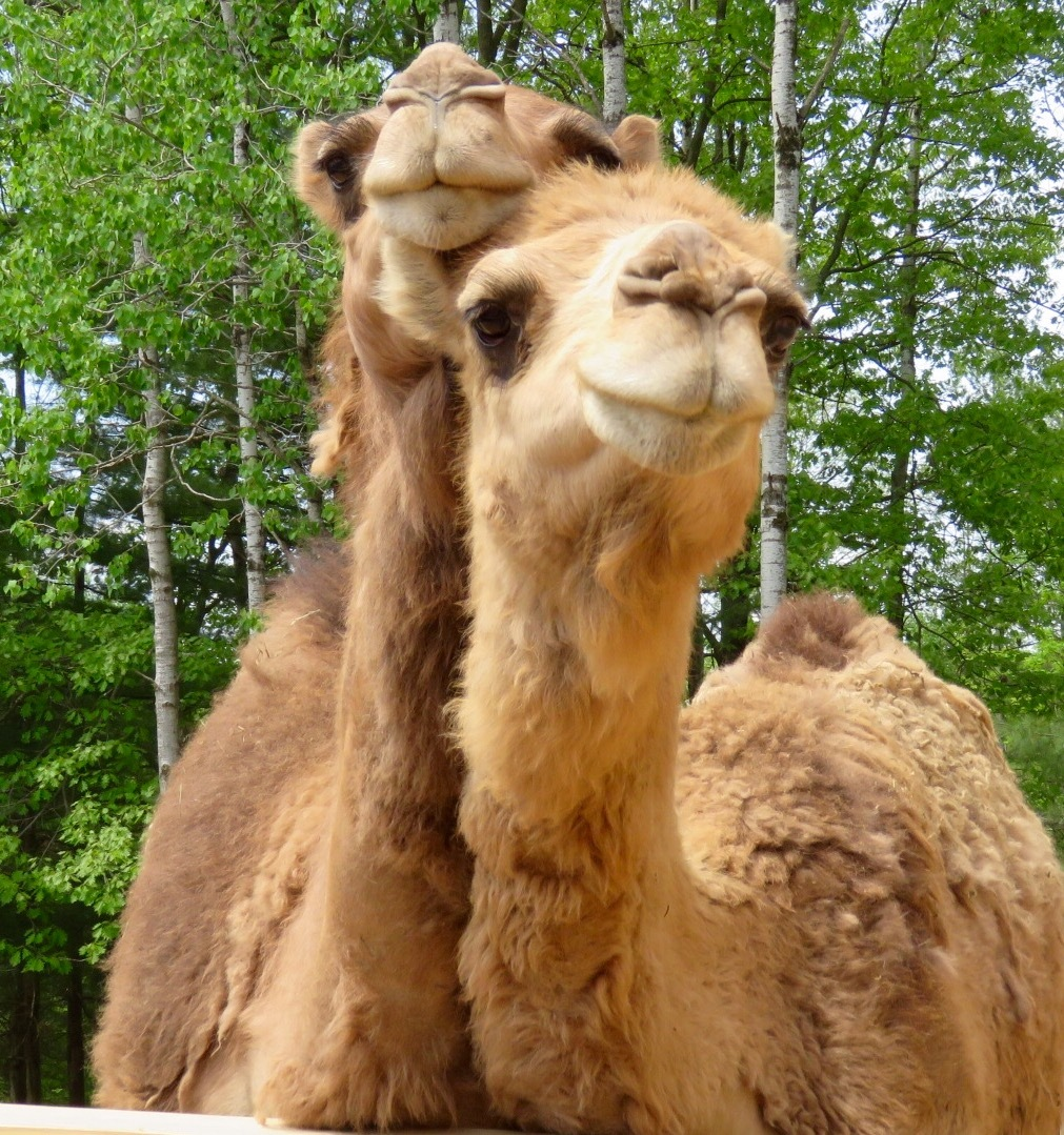 Camels by Kimberly