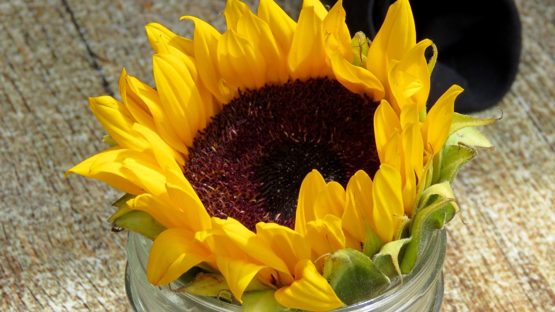 Sunflower by Kimberly