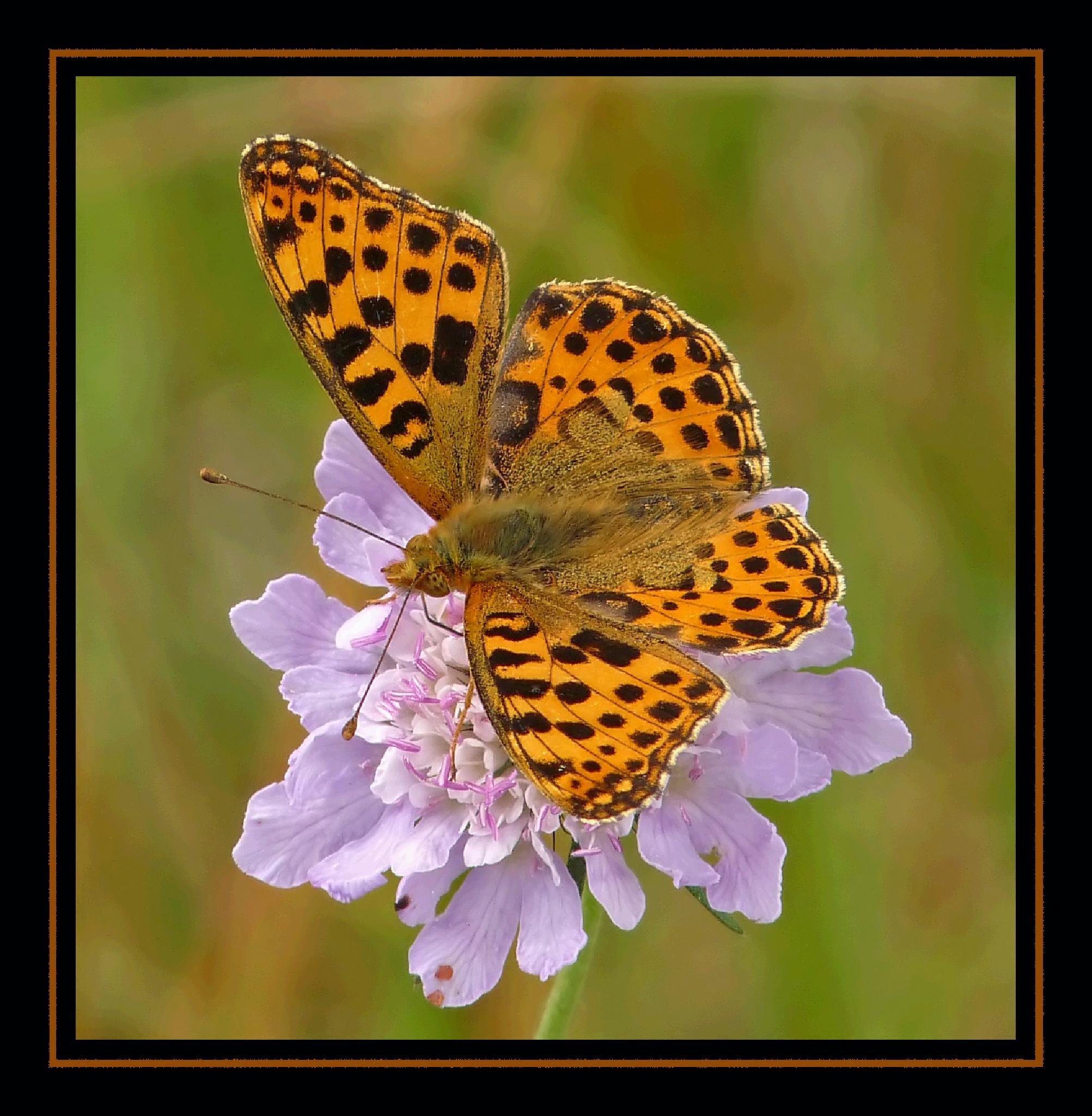 Great Fritillary Butterfly by Dekayne