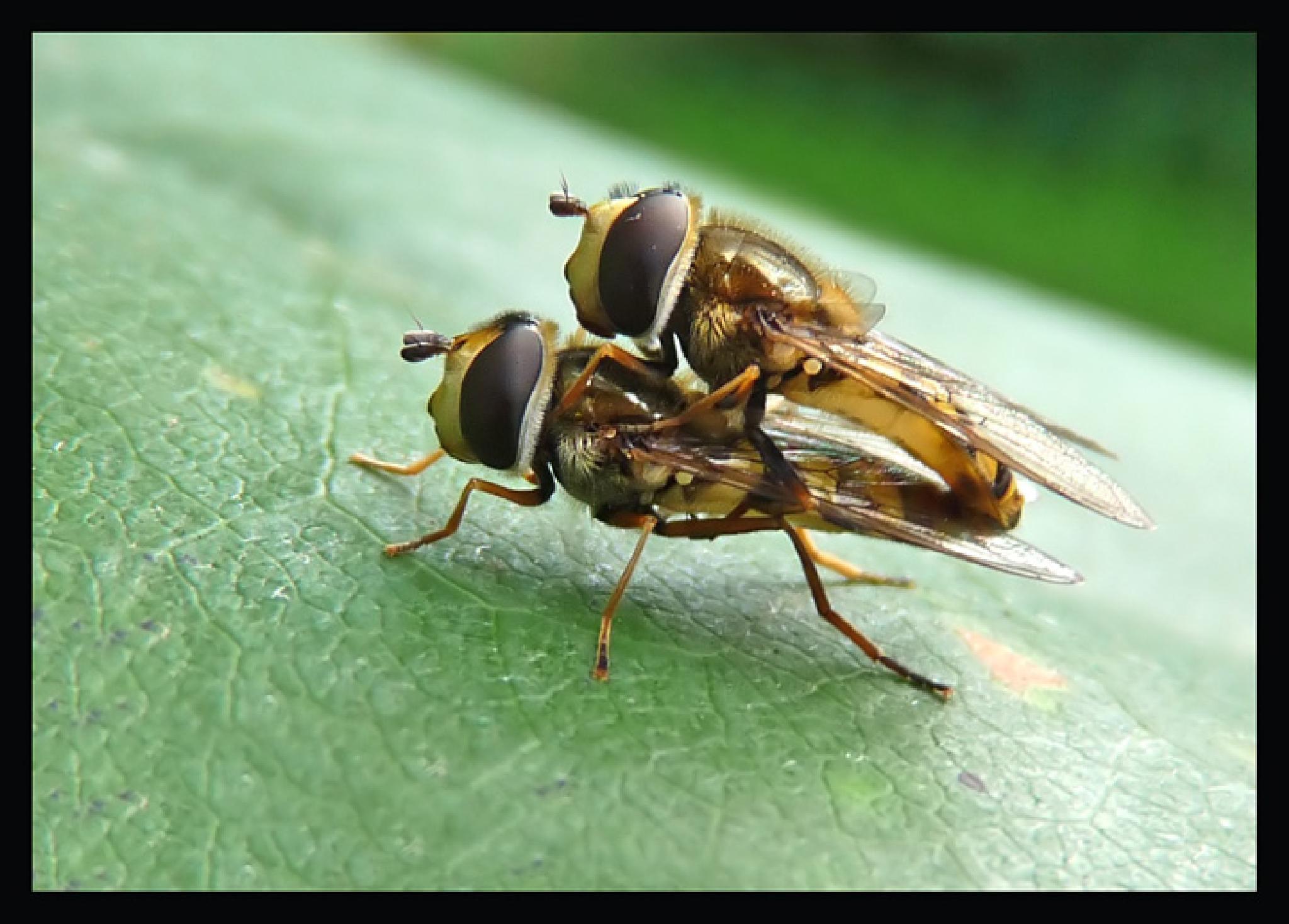 Mating Hoverflies  101B by Dekayne
