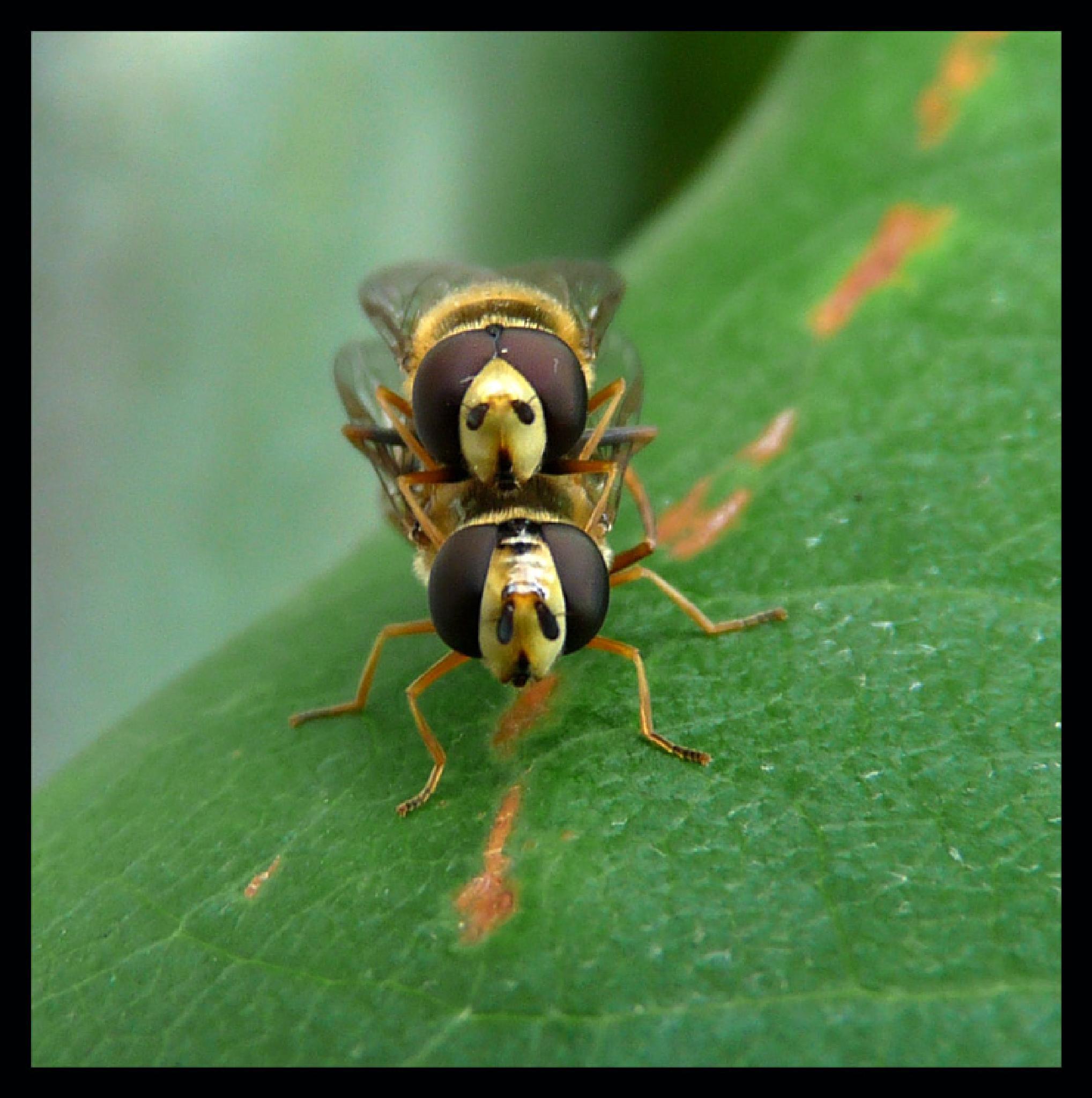 Mating Hoverflies  109 by Dekayne