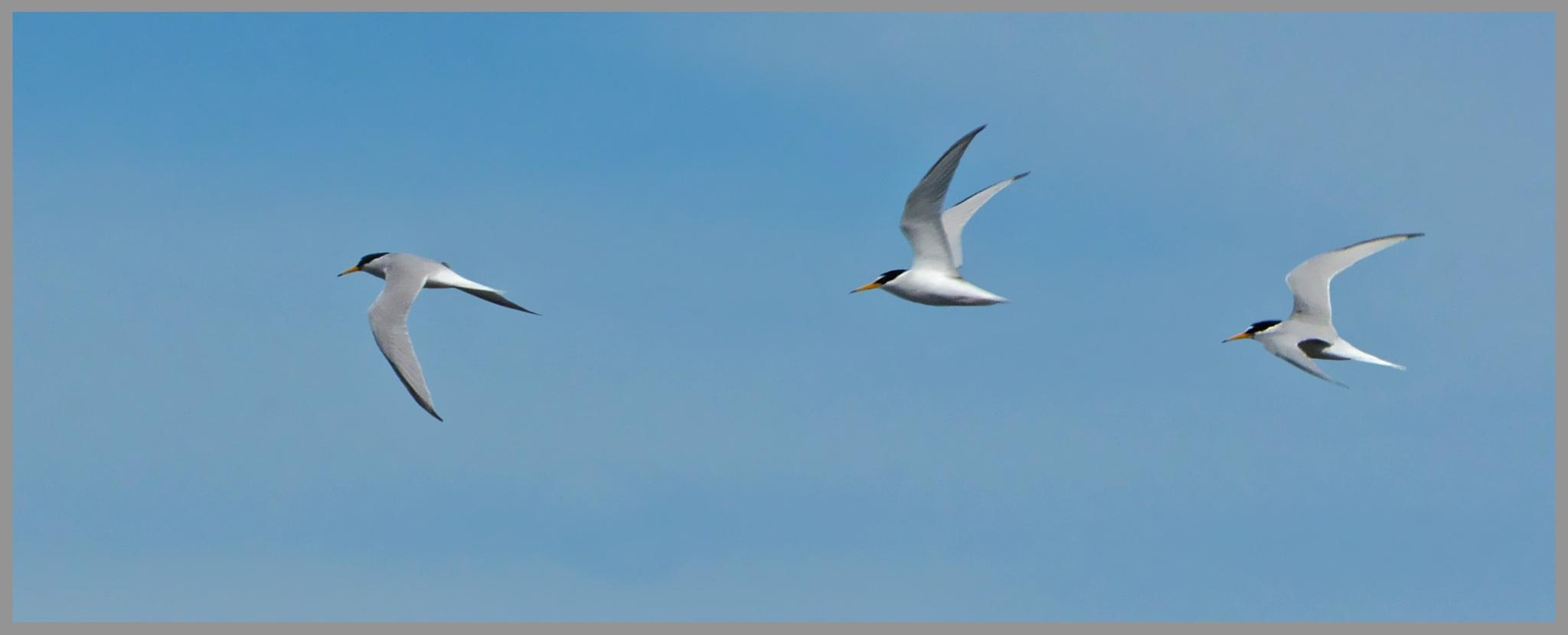 Flight study Little Tern (Sterna albifrons) by Dekayne