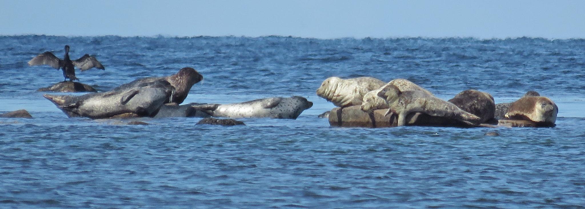 Common seal 88  by Dekayne