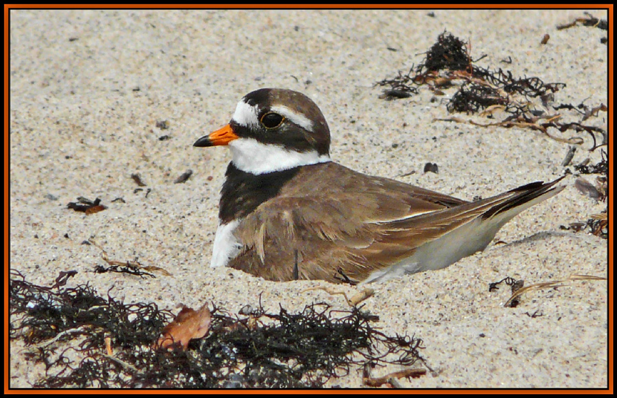 Common Ringed Plover (Charadrius hiaticula) in the nest by Dekayne