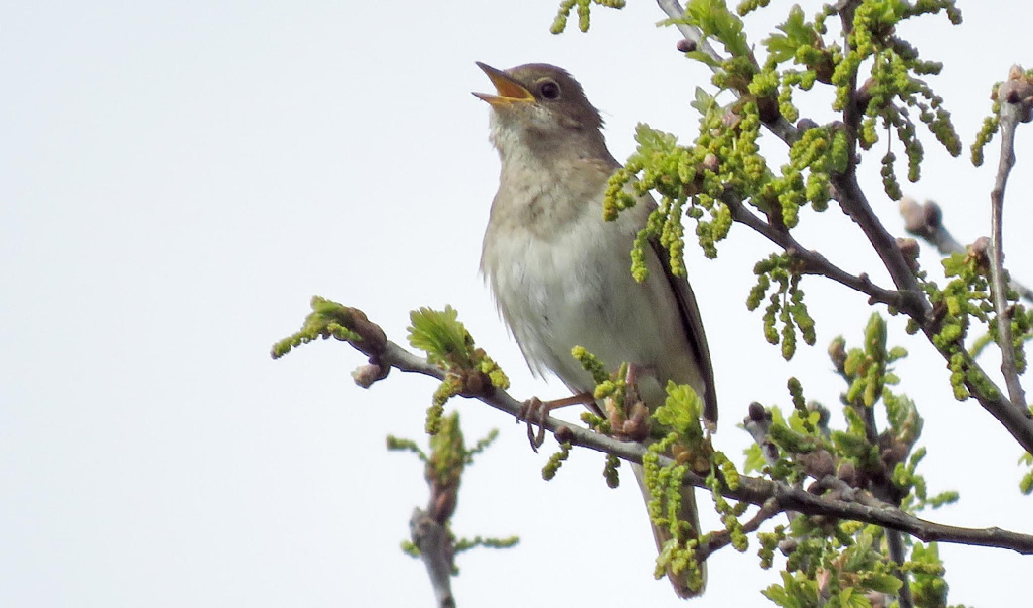 Thrush Nightingale 60 (Luscinia luscinia) by Dekayne