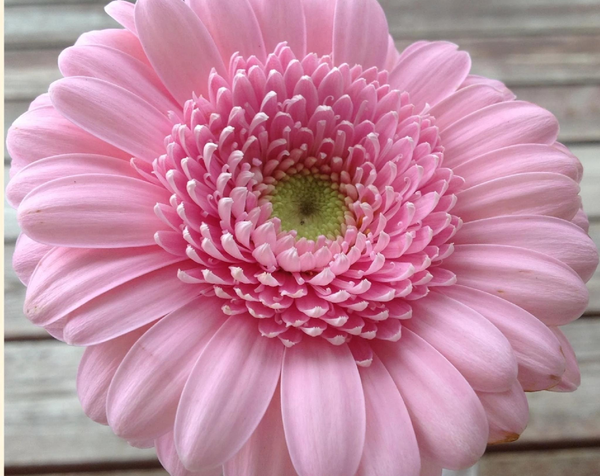 PINK FLOWER by lindaj.photogallery