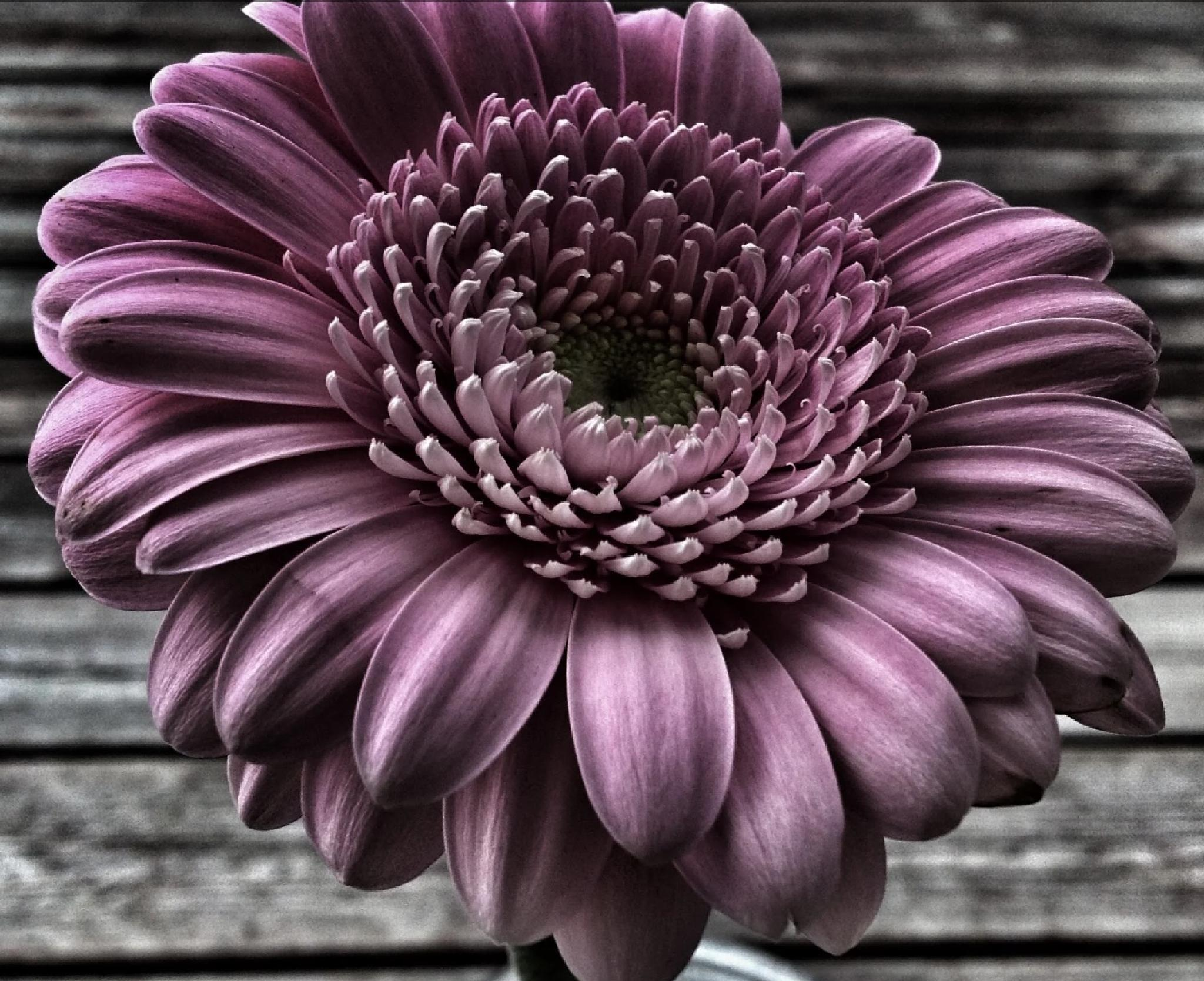 PURPLE DELIGHT by lindaj.photogallery