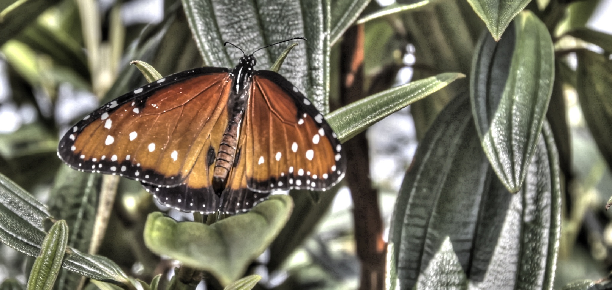HDR butterfly by Melanie Smith