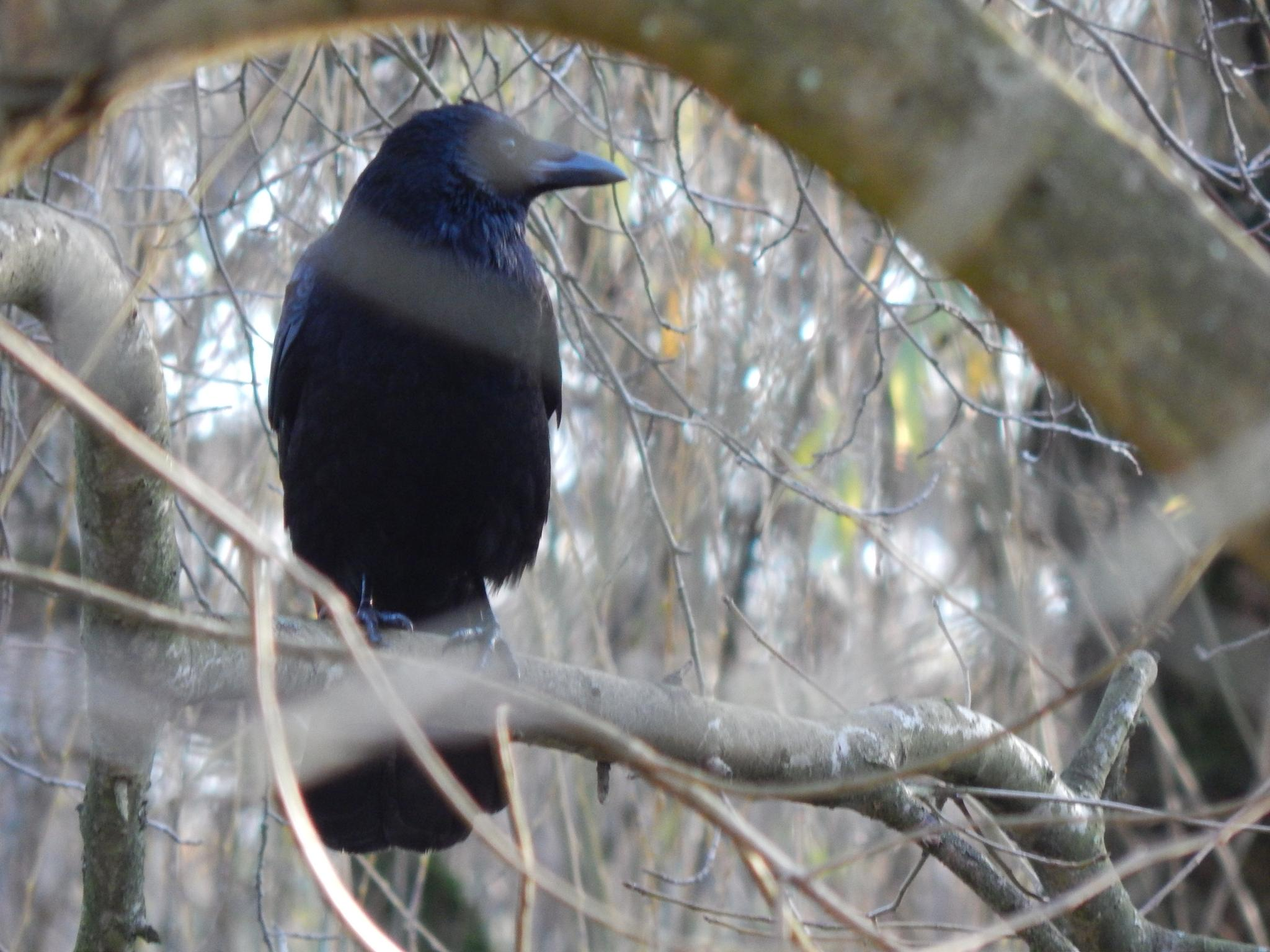 Crow Dream by fordview31