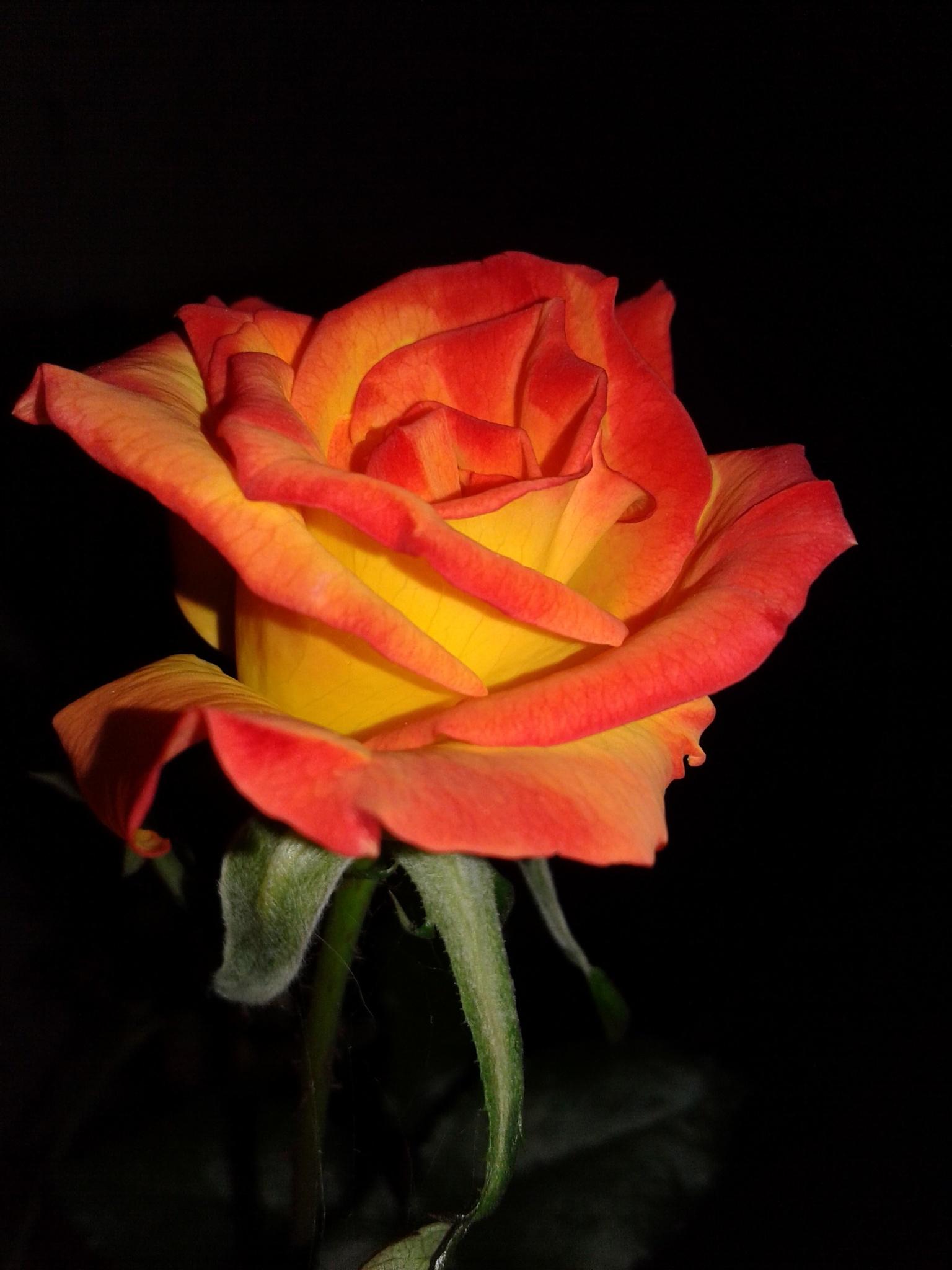 the Rose by mohammadjahanaray1998
