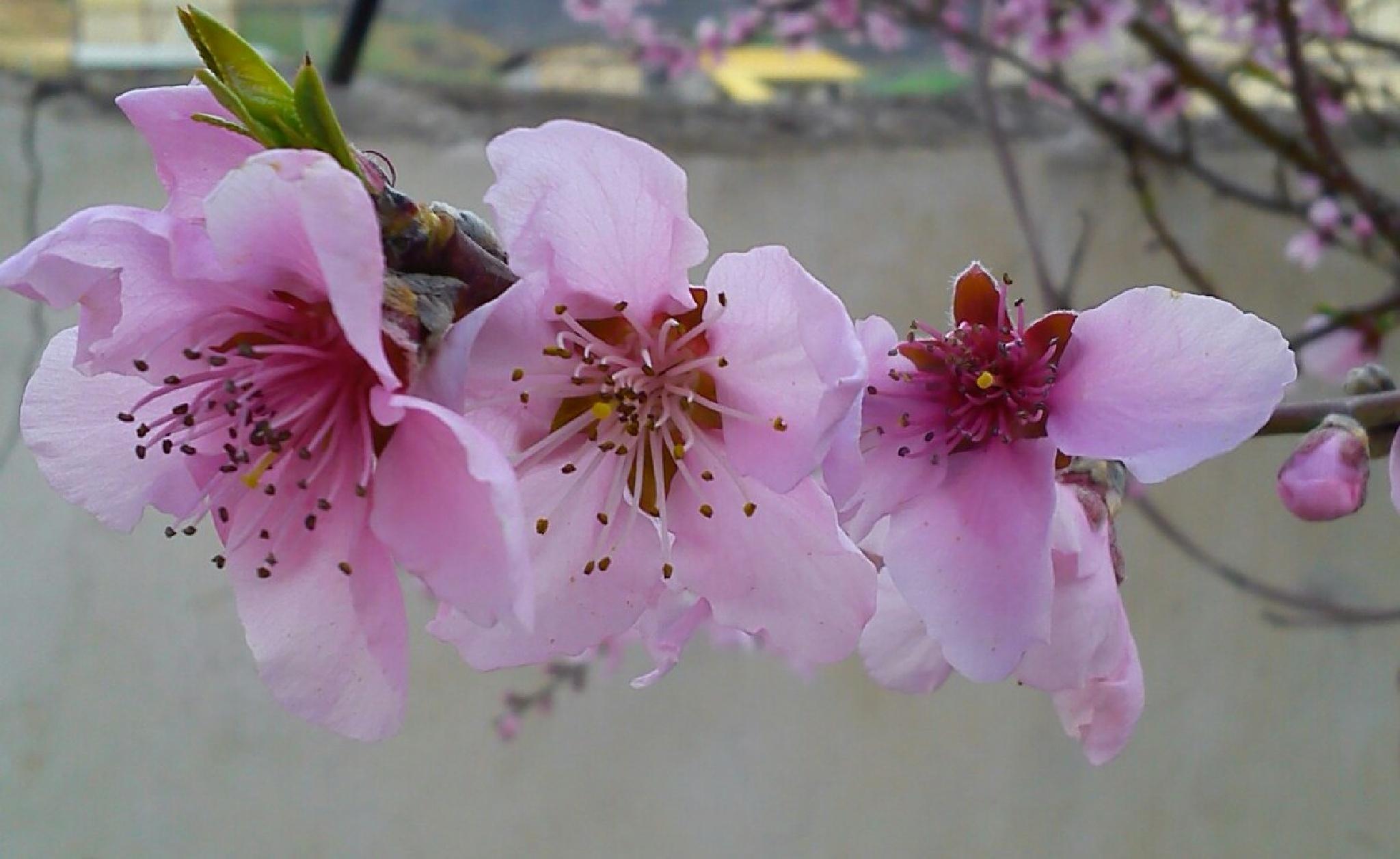 blossom by mohammadjahanaray1998