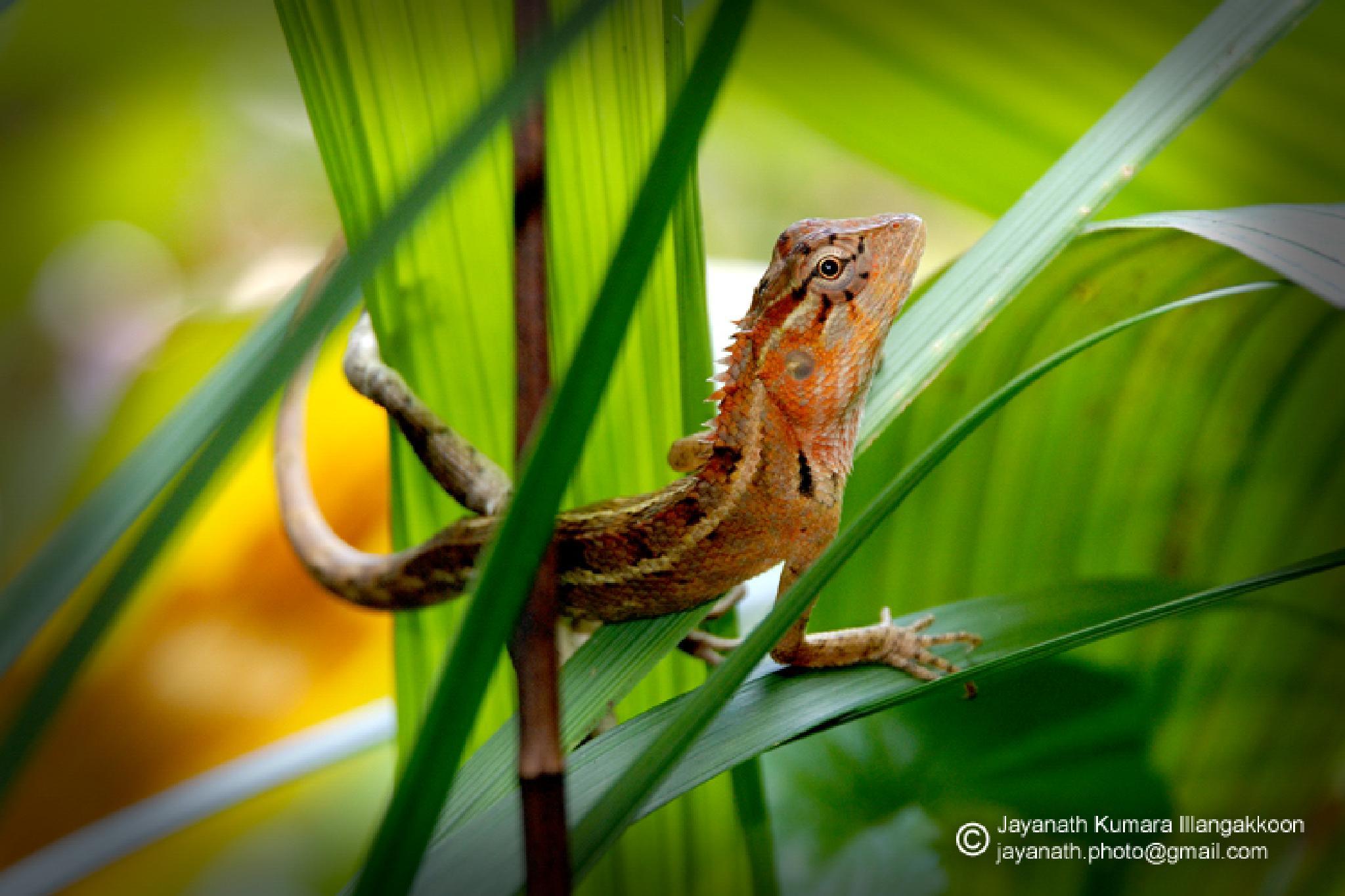 Lizard  by Jayanath Illangakoon