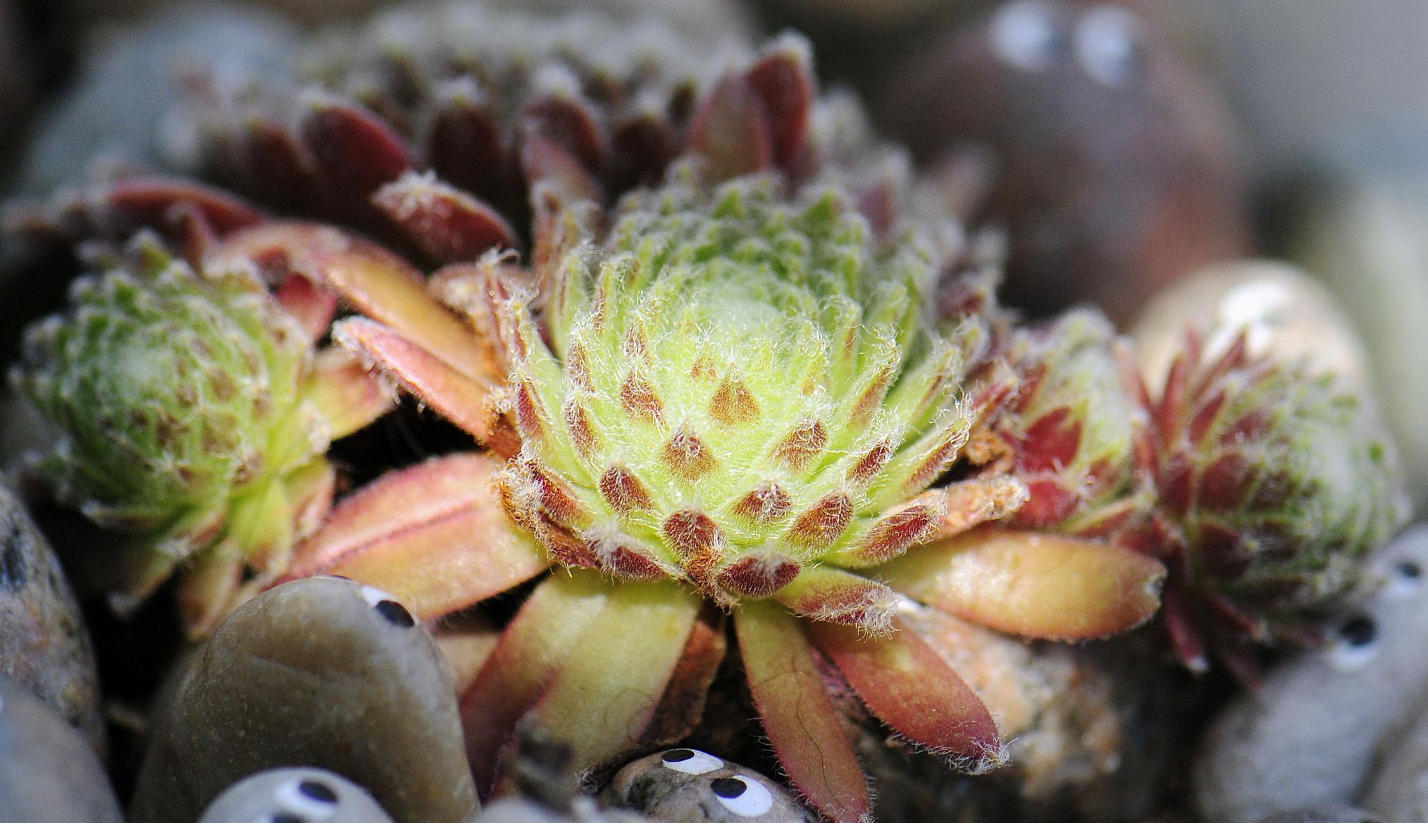 Partially sunlit succulent plant by Mats56