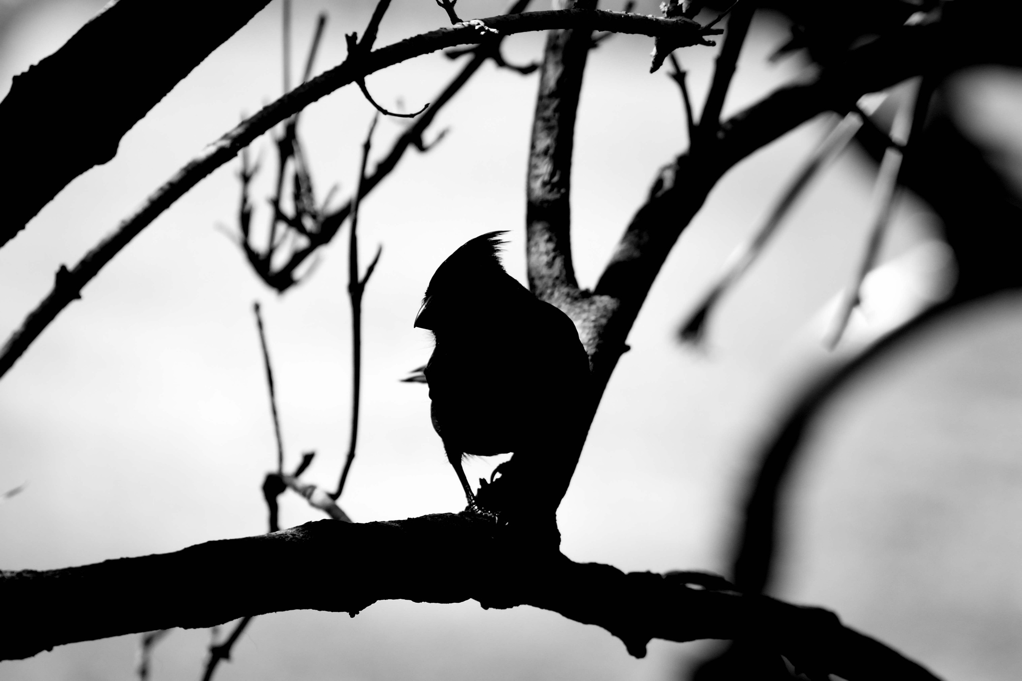 Silhouetted cardinal by Jack Farley