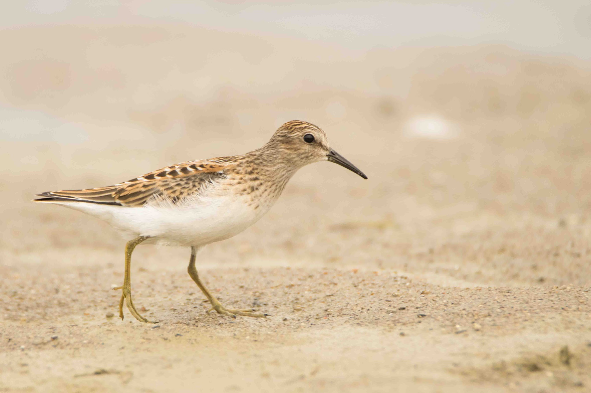 Least Sandpiper by Jack Farley