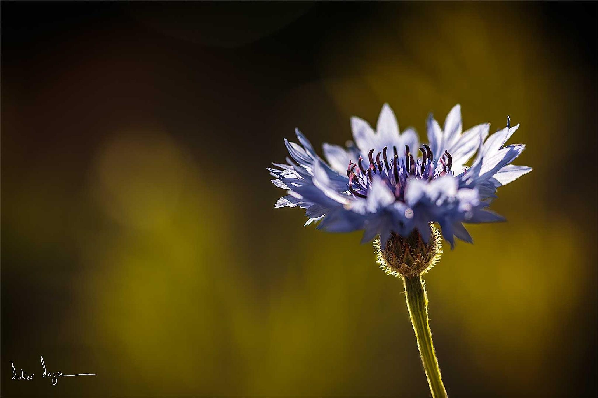 Blue ....... by DidierDEZAN