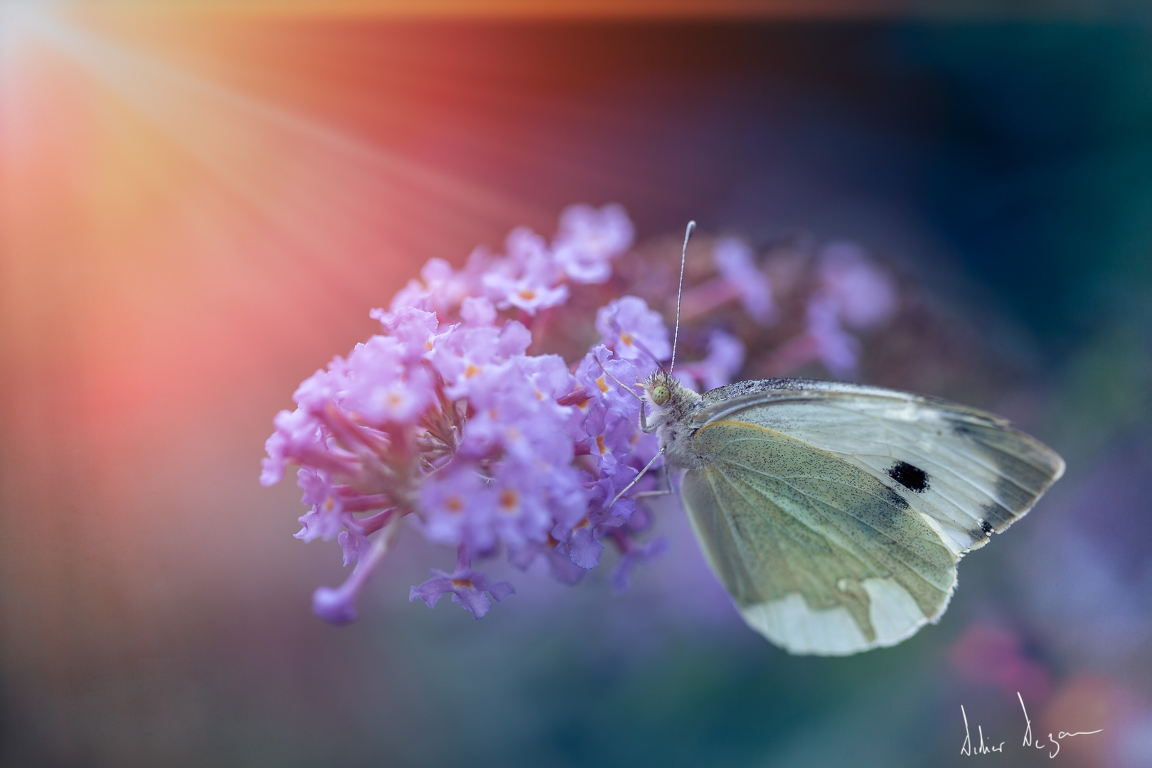 Butterfly .... by DidierDEZAN
