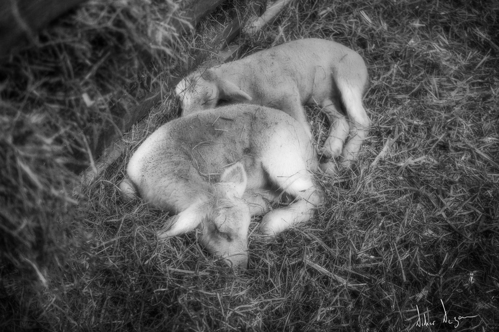 The Lamb lies down ..... by DidierDEZAN