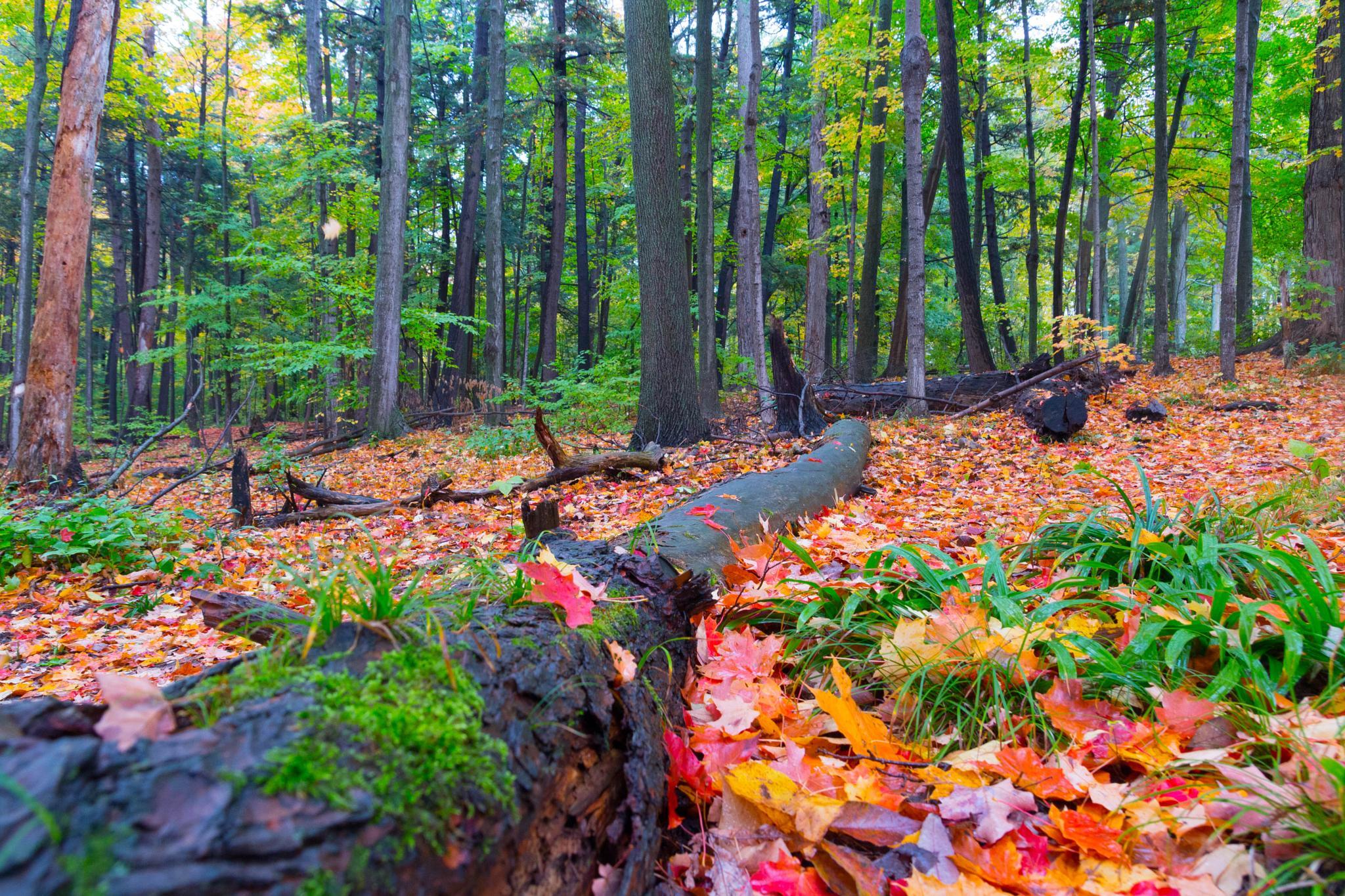 Fall In Burnham Woods by Tim Corner