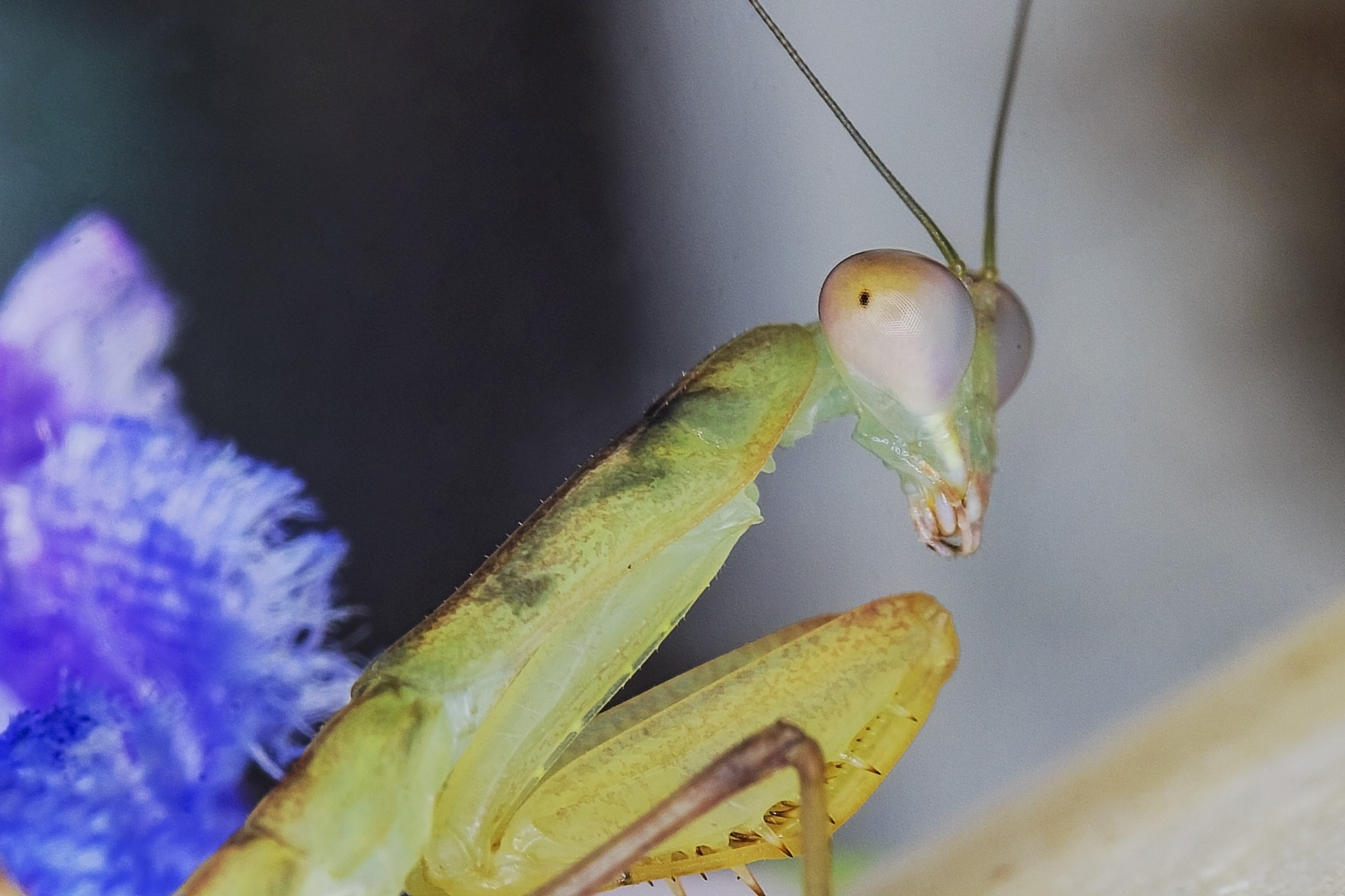 Mantis Looking Back by Dave Bremner