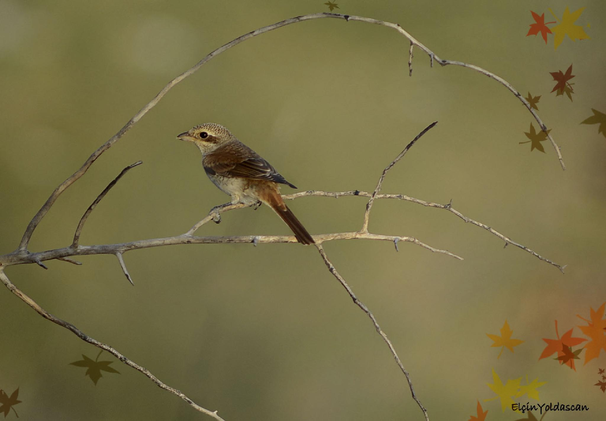 Red-backed Shrike by ElcinYoldascan