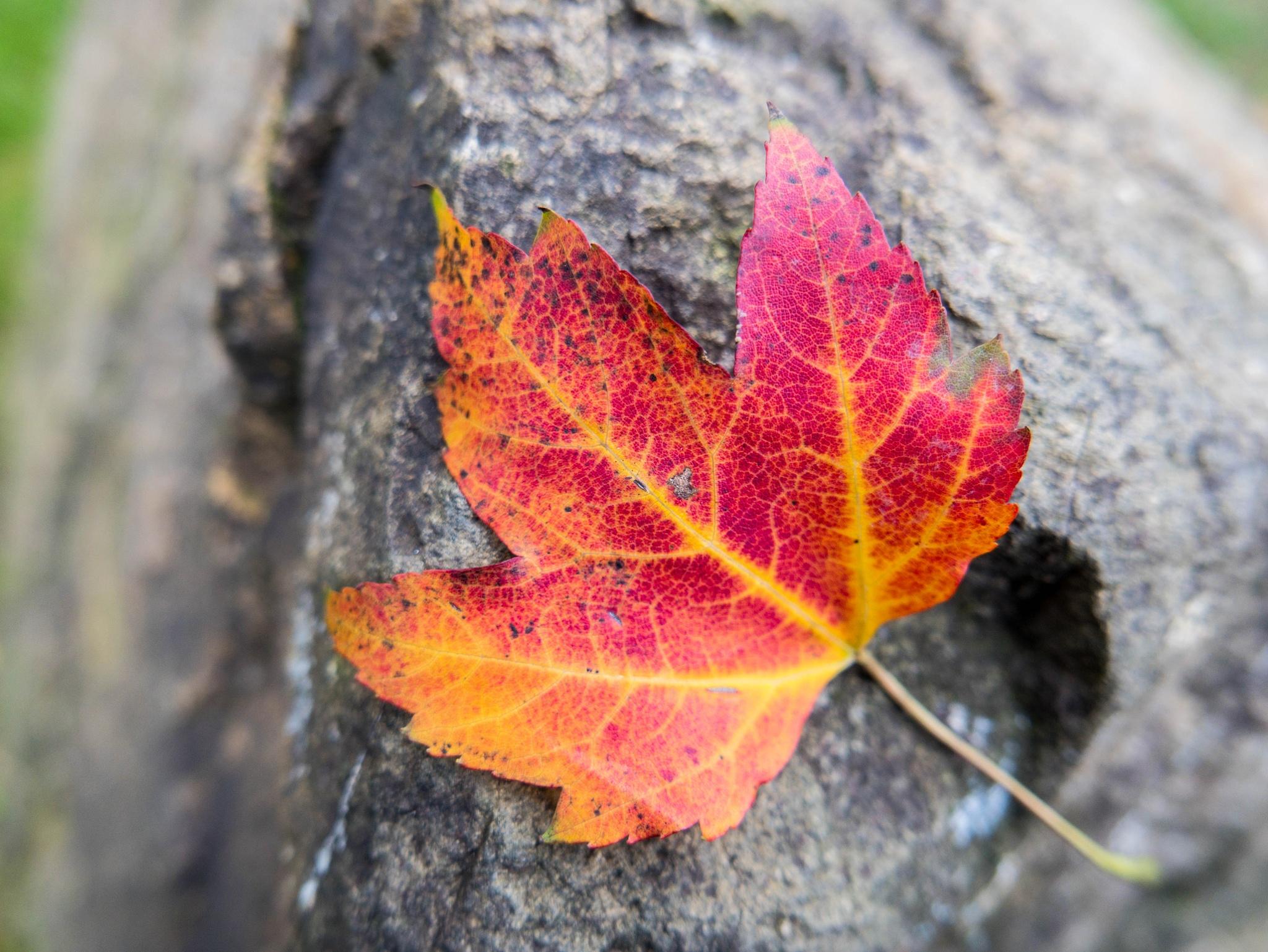 Red Leaf by hbilgen