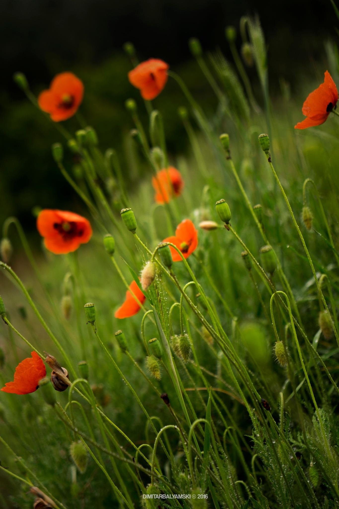 Just...poppies by Dimitar Balyamski