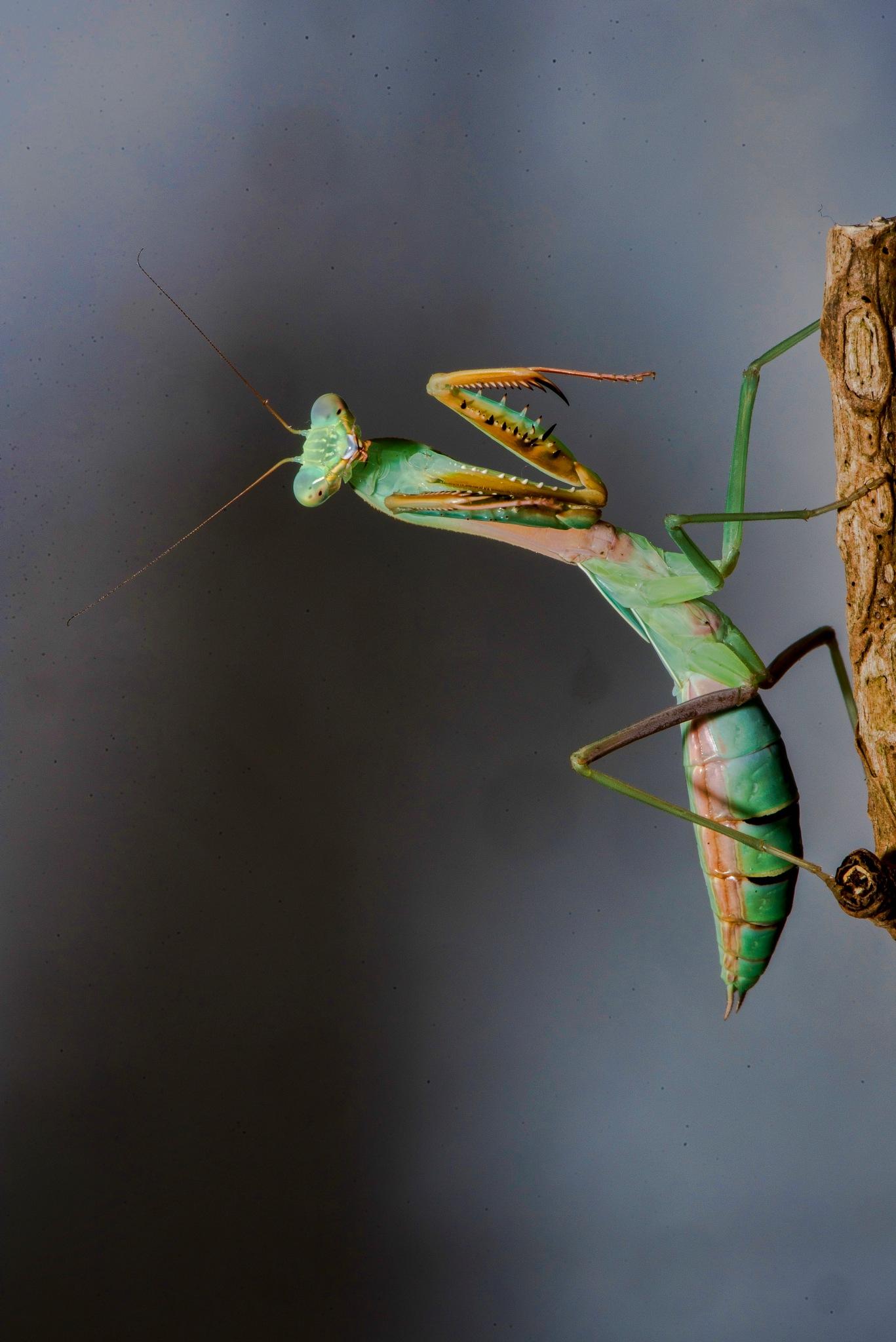 malaysian mantis by Van Der Doodt Alain