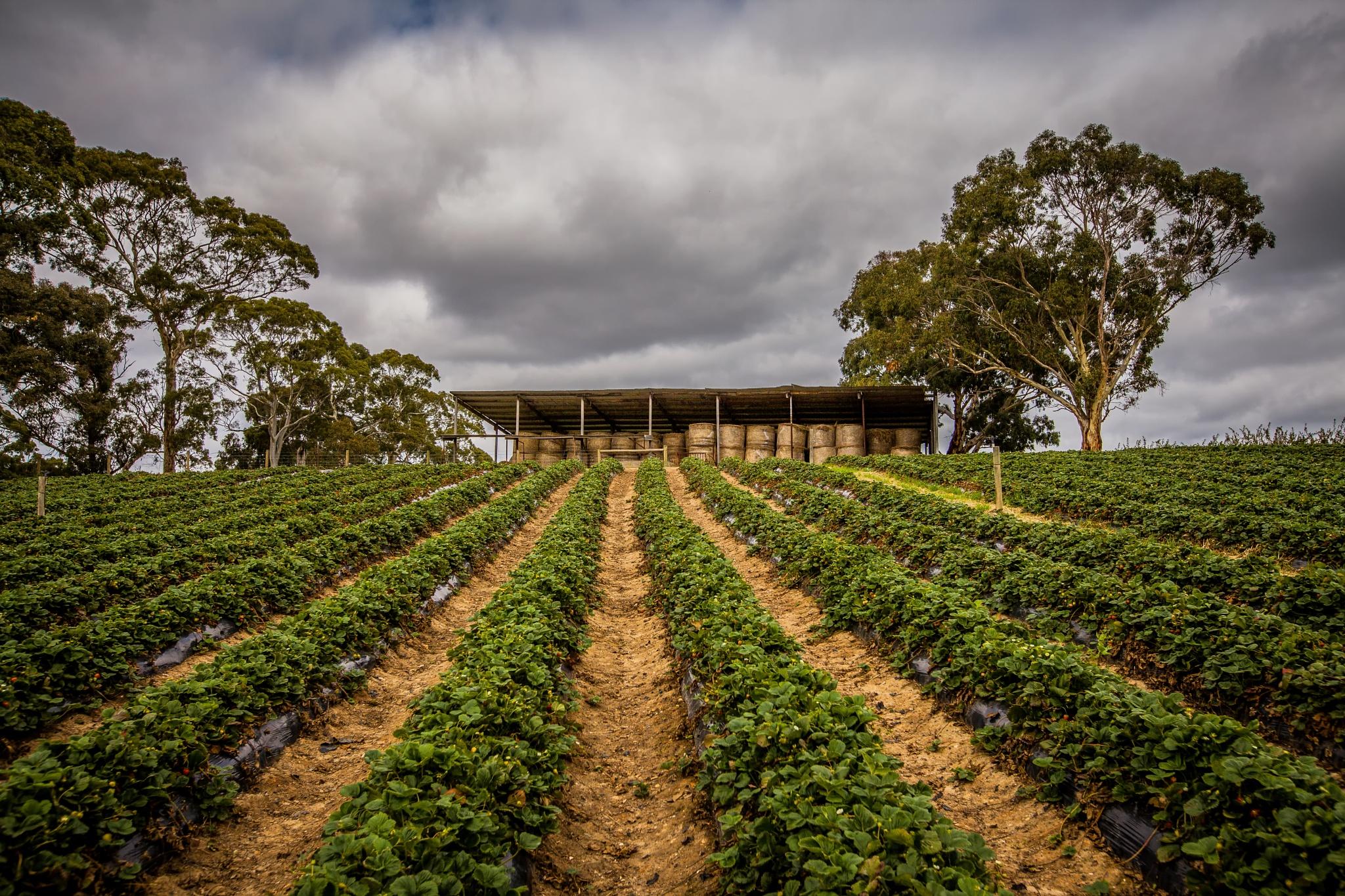 Strawberry Field by jimmy t