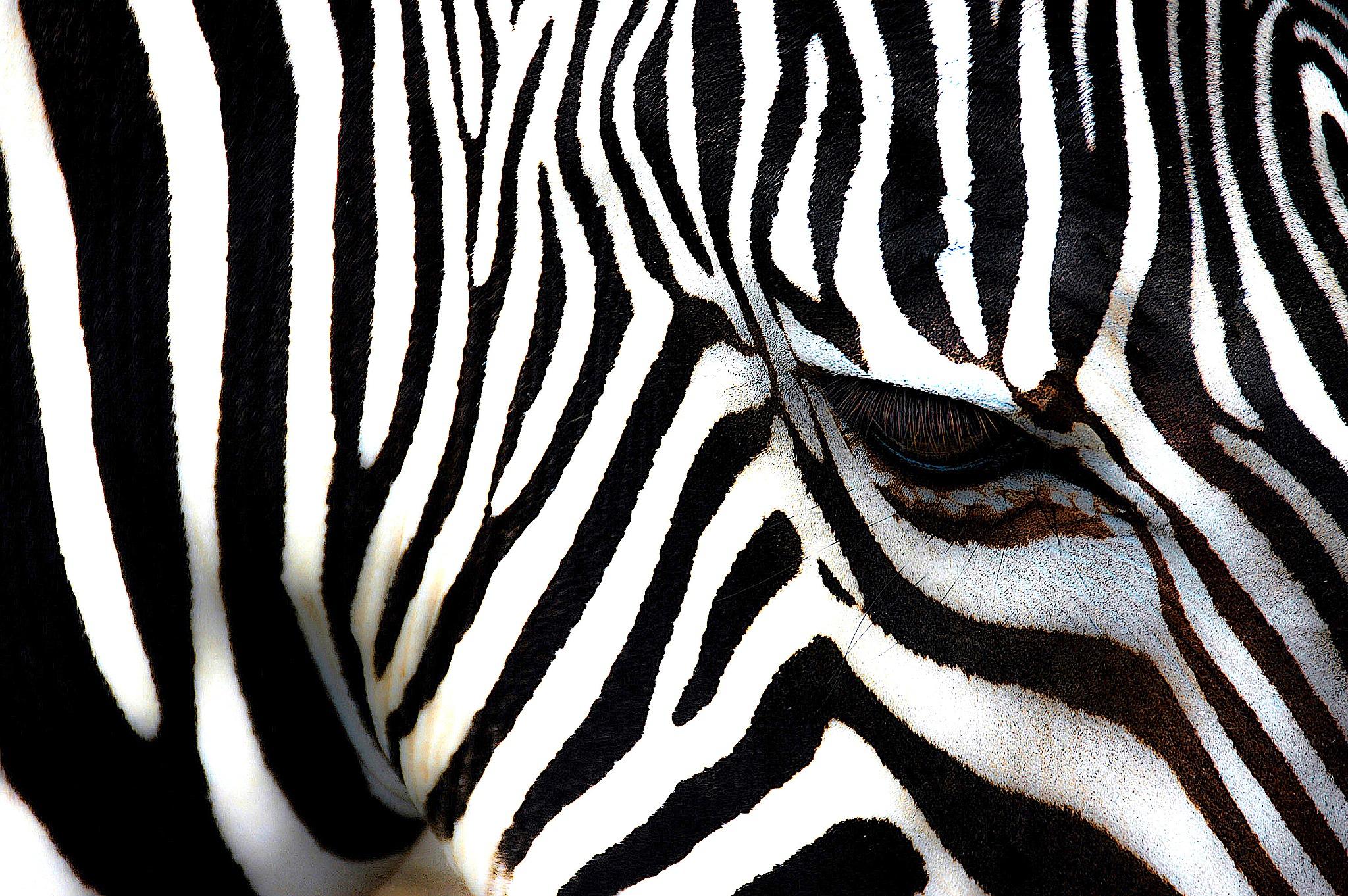 zebra 14 by sonny_roger_sonneland