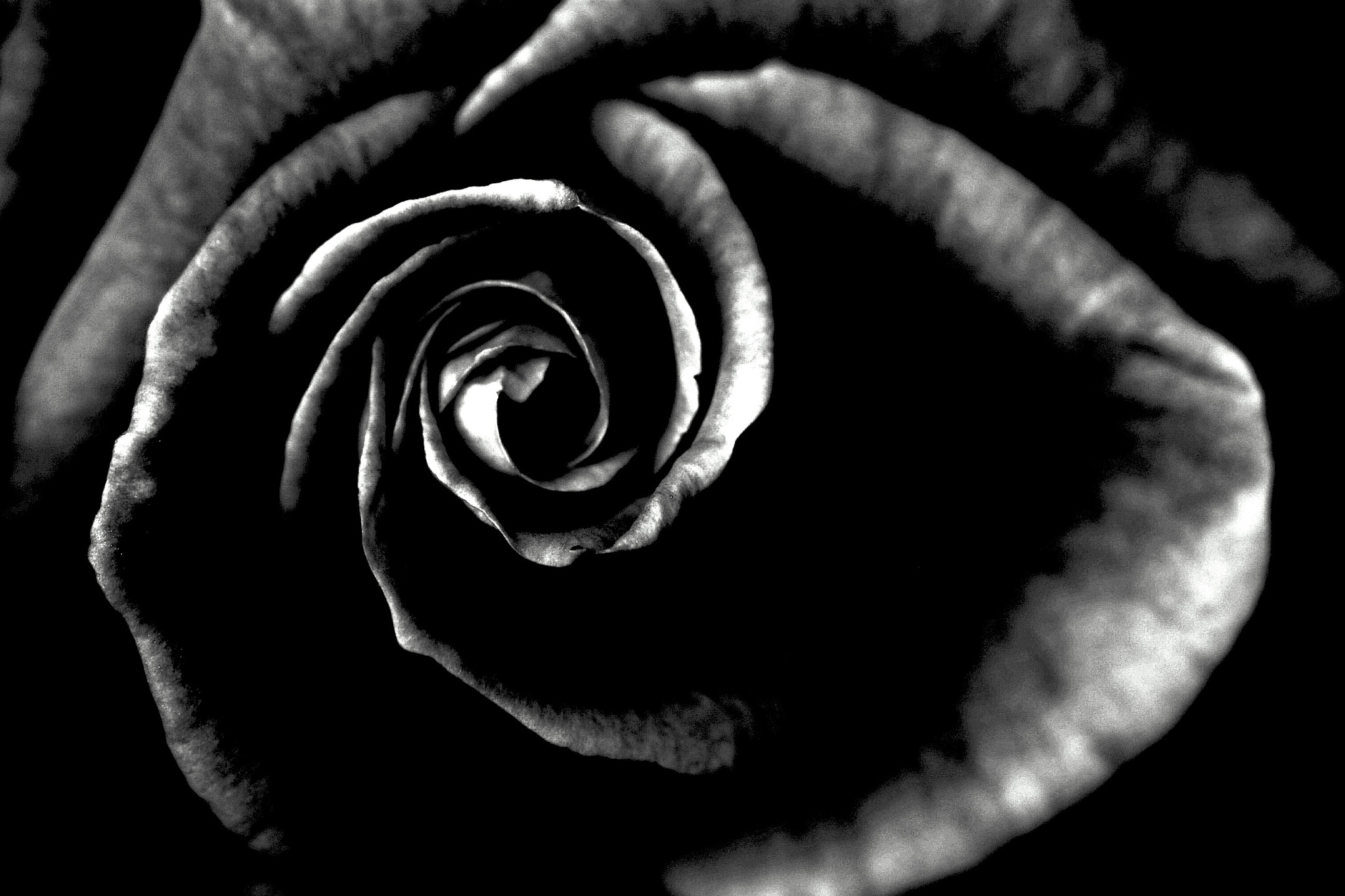 Photo in Black and White #rose #flowers in b/w #garden #b/w