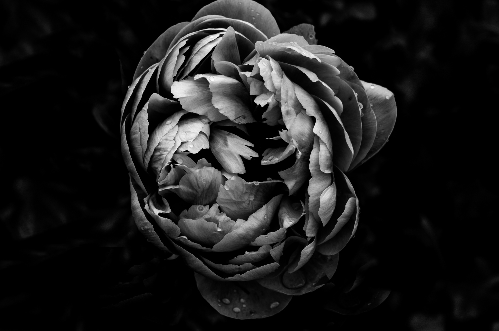Photo in Black and White #flowers #in b/wgarden #peony in b/w