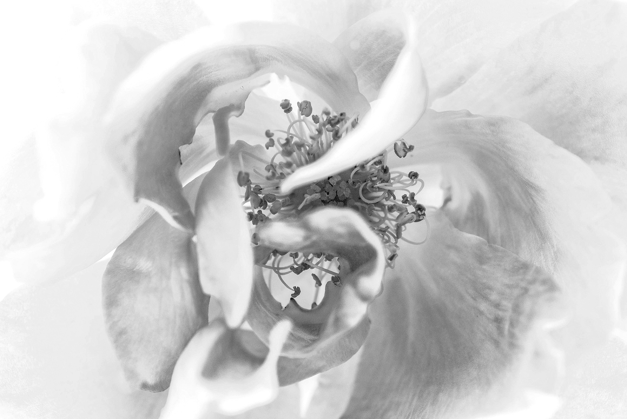Photo in Black and White #rogersonneland #rose in b/w #roses #flowers #garden #b/w