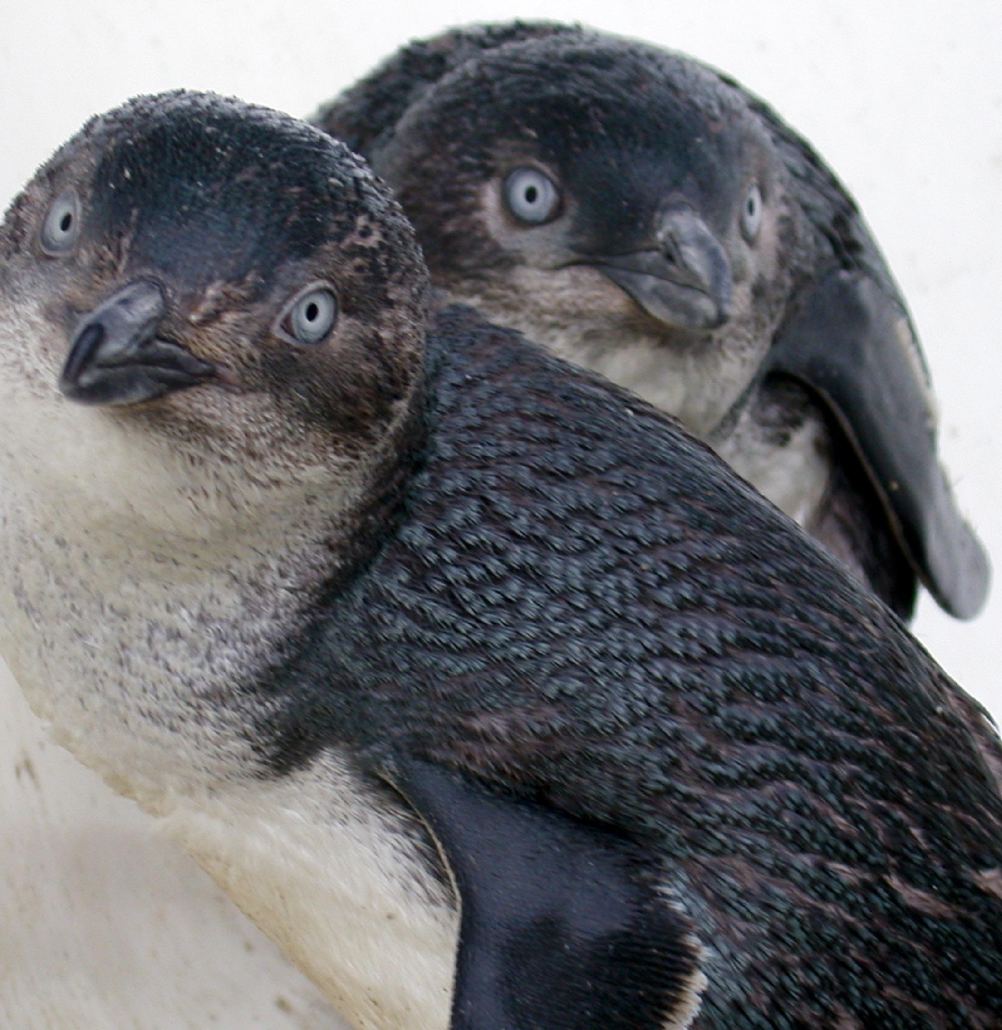 blue penguins  by sonny_roger_sonneland