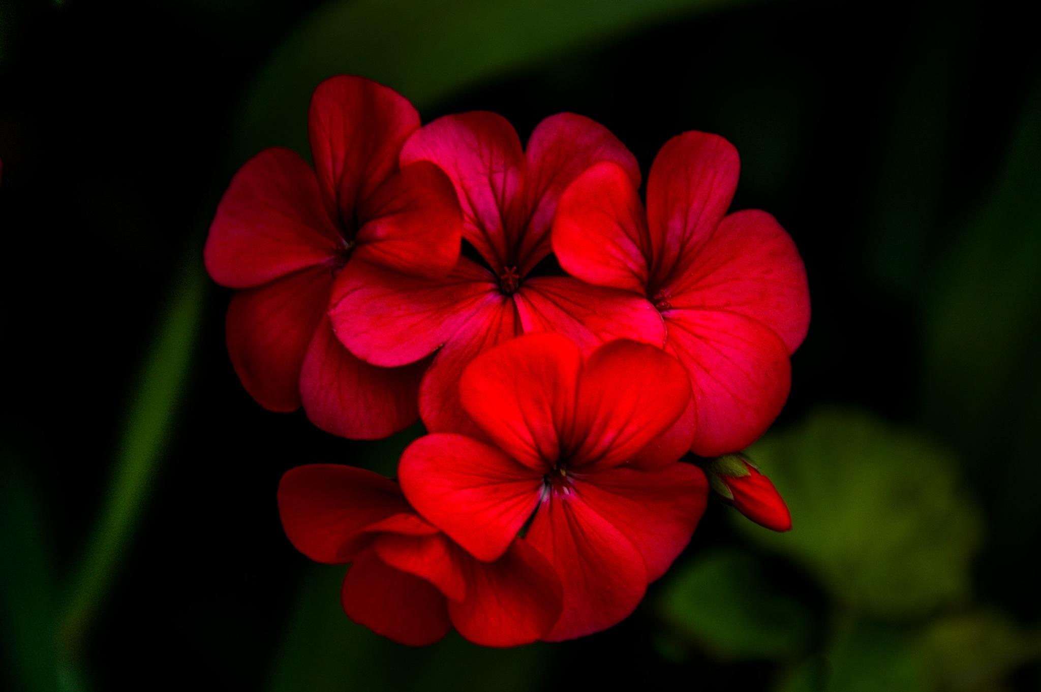 geranium by sonny_roger_sonneland